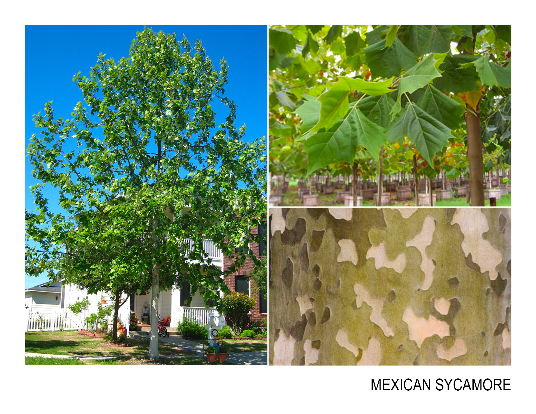mexican sycamore.jpg