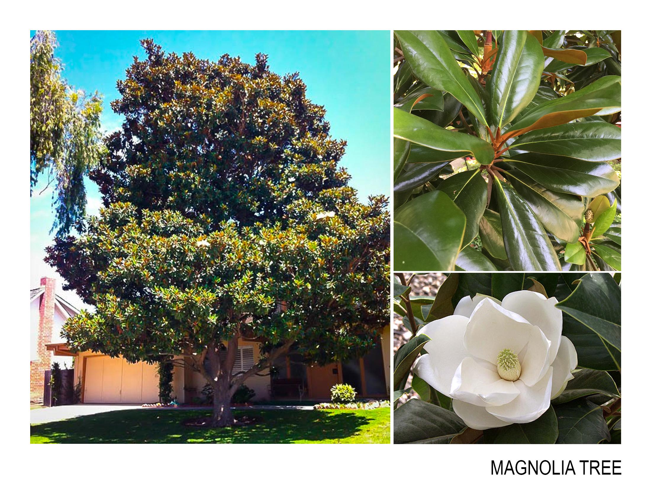 magnolia_tree.jpg