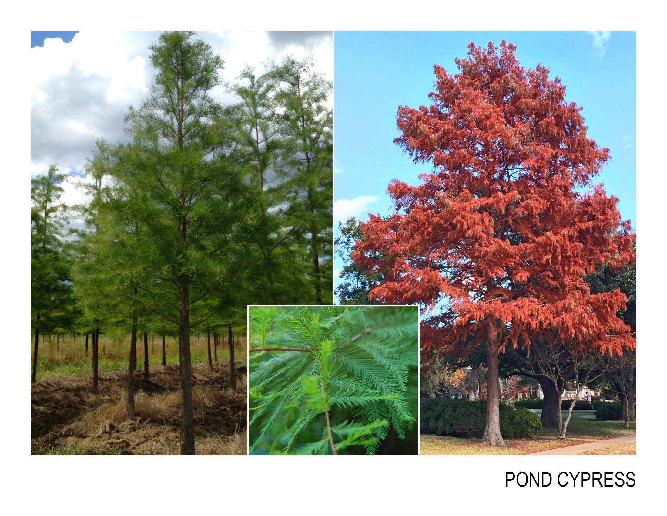 pond cypress.jpg
