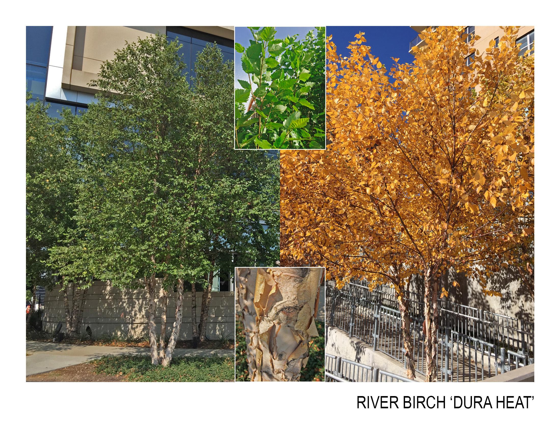 river birch 'dura heat'.jpg