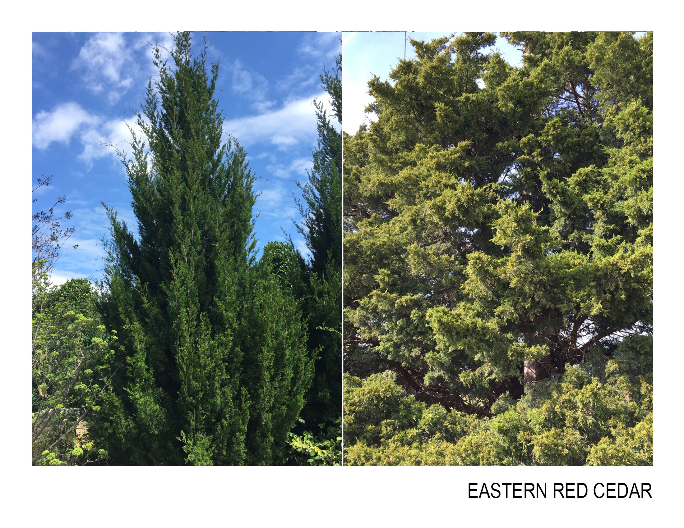 eastern red cedar.jpg