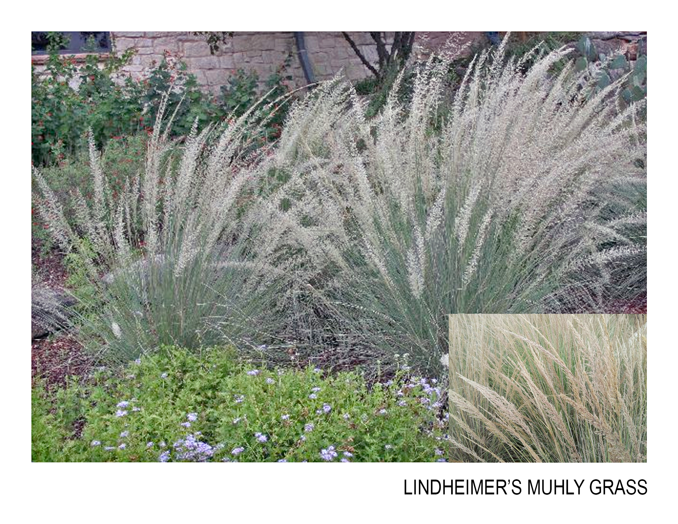 lindheimers muhly grass.jpg