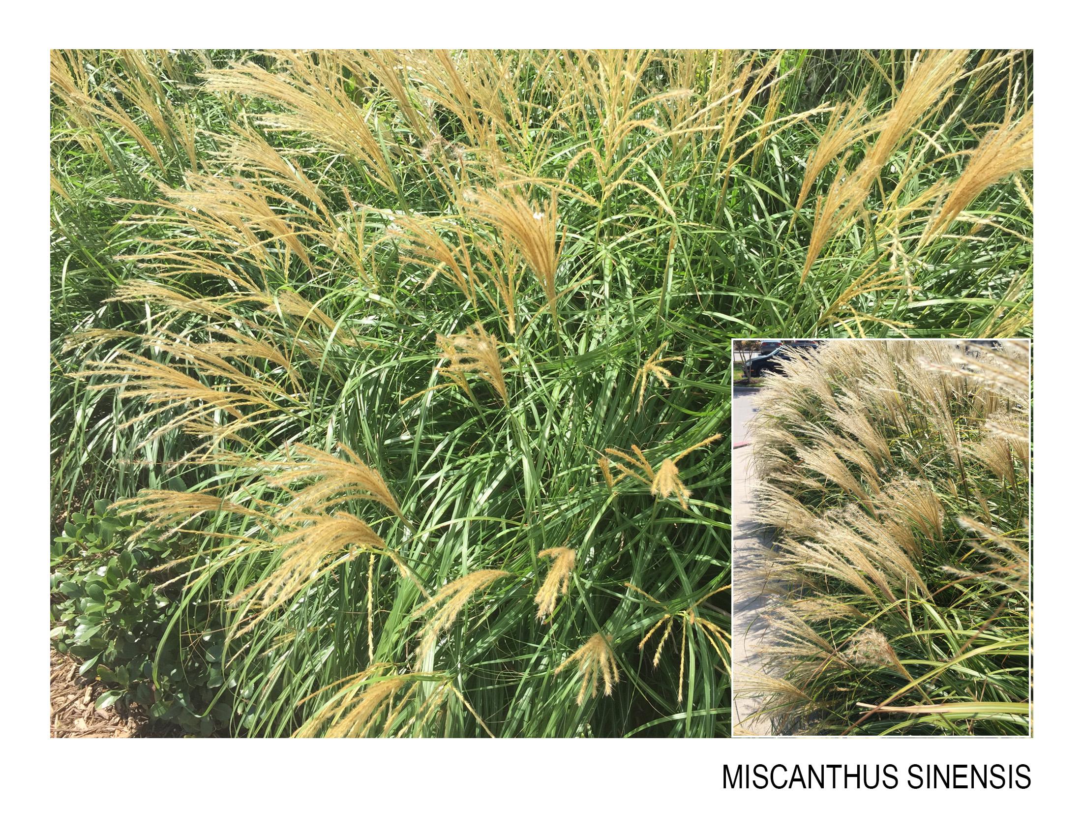 miscanthus sinensis.jpg