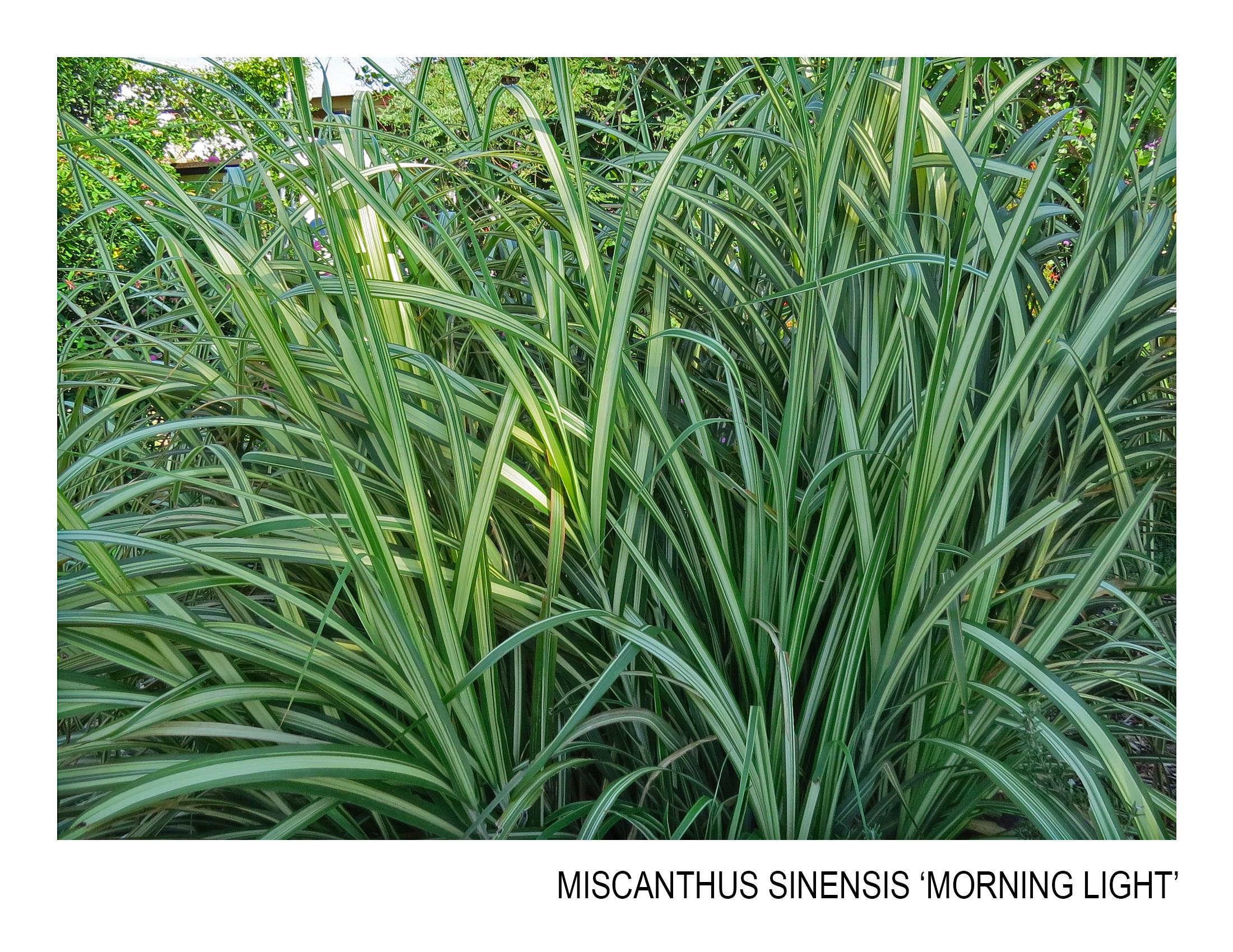 miscanthus sinensis 'morning light'.jpg