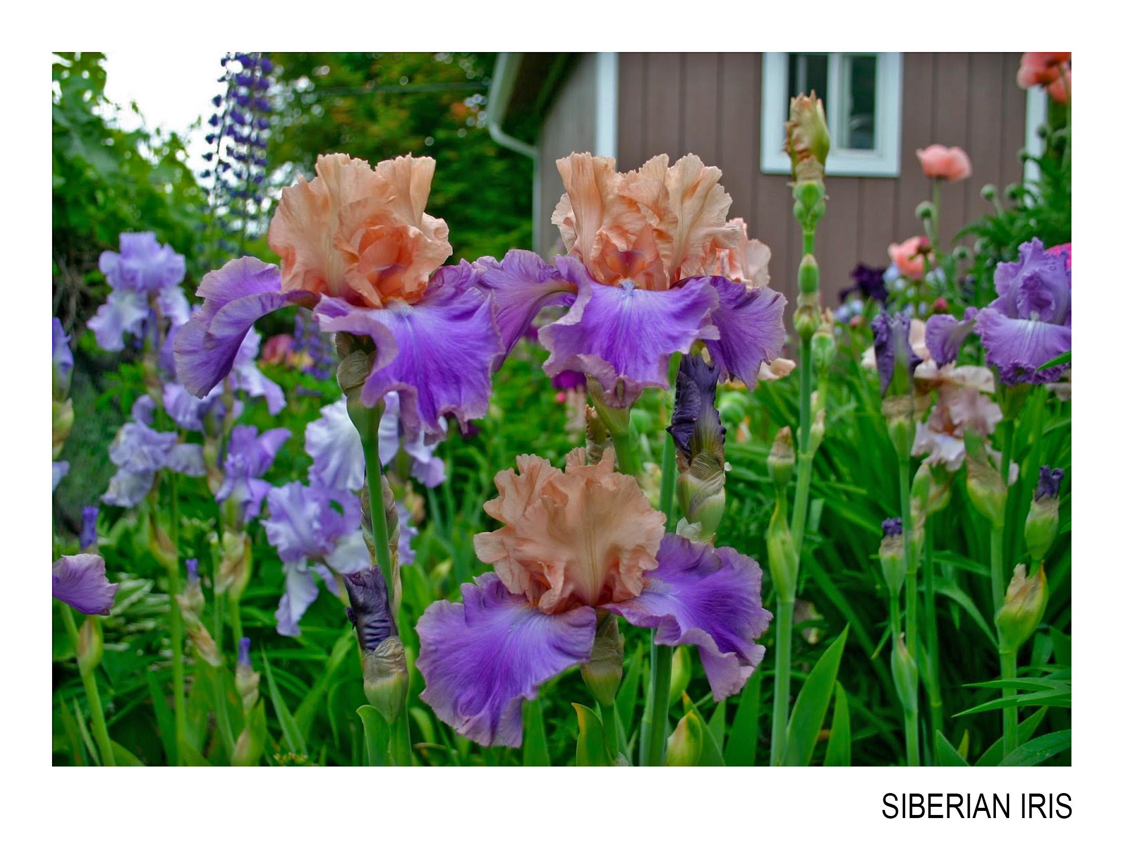 bearded iris.jpg