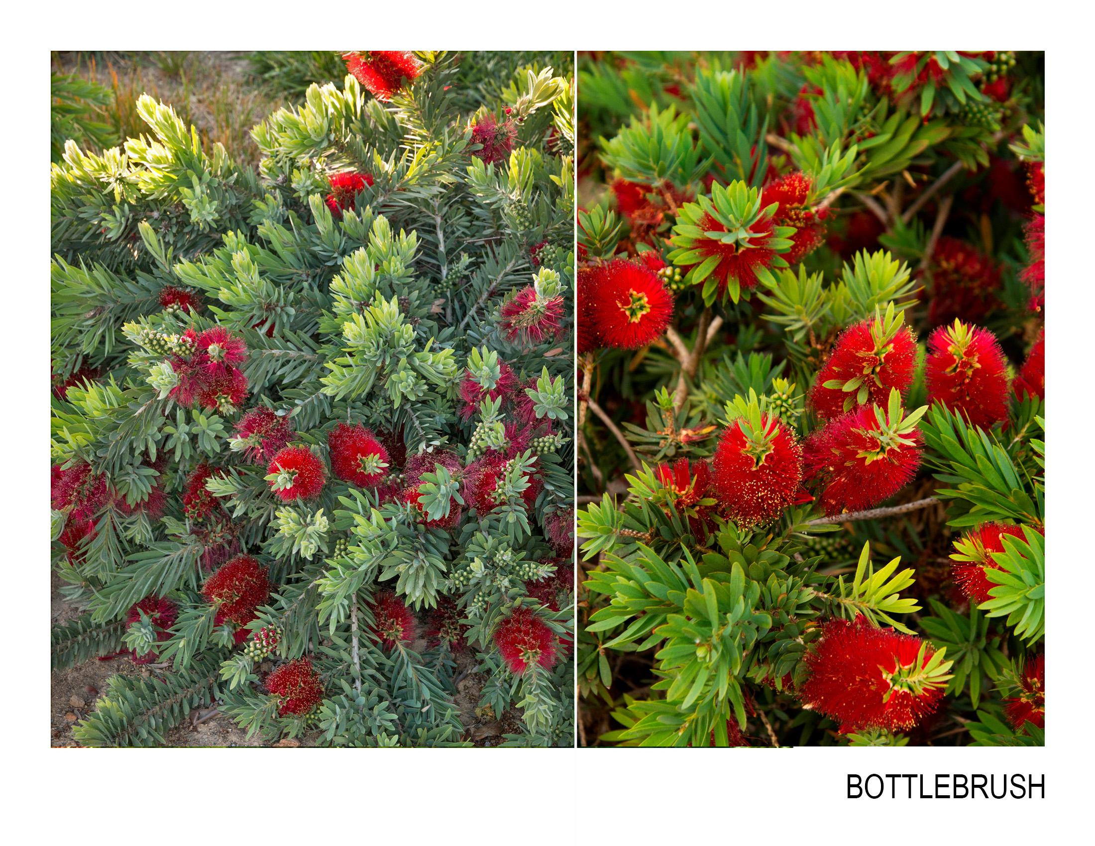 bottlebrush.jpg