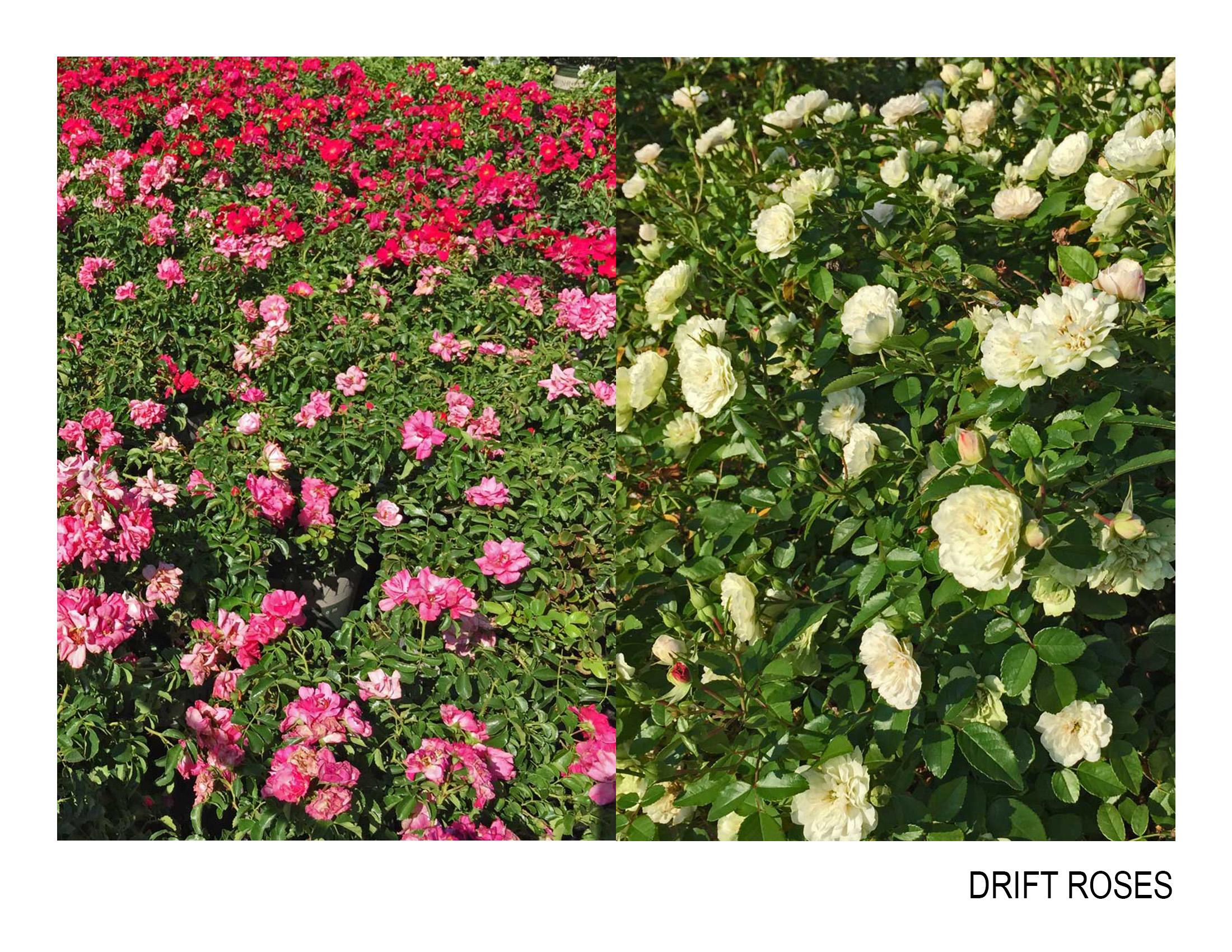 drift roses.jpg