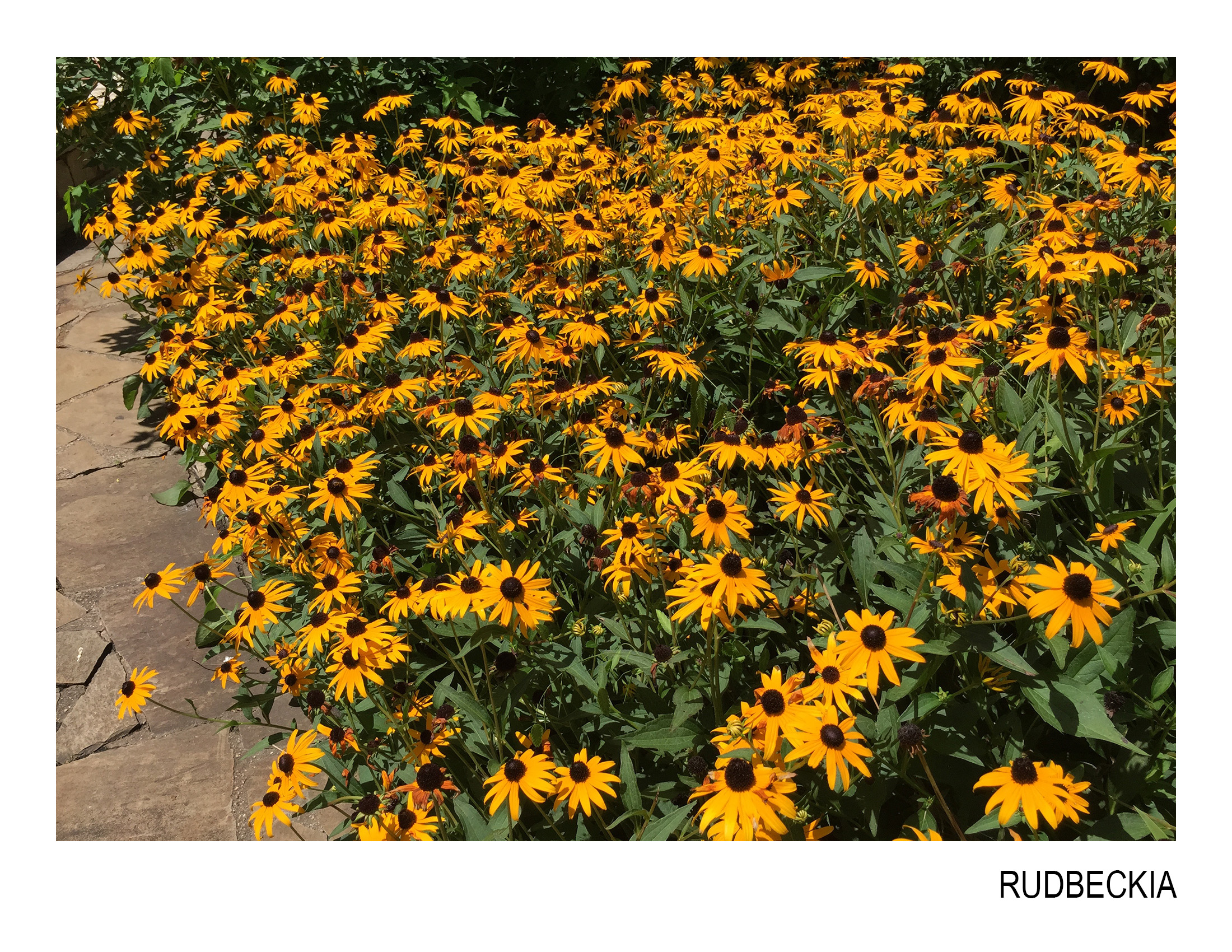 rudbeckia.jpg