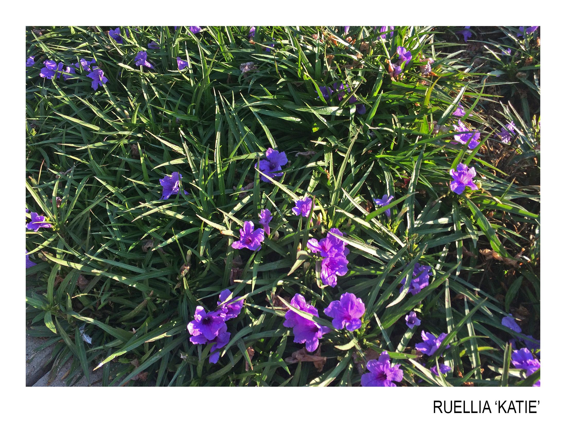 ruellia katie.jpg