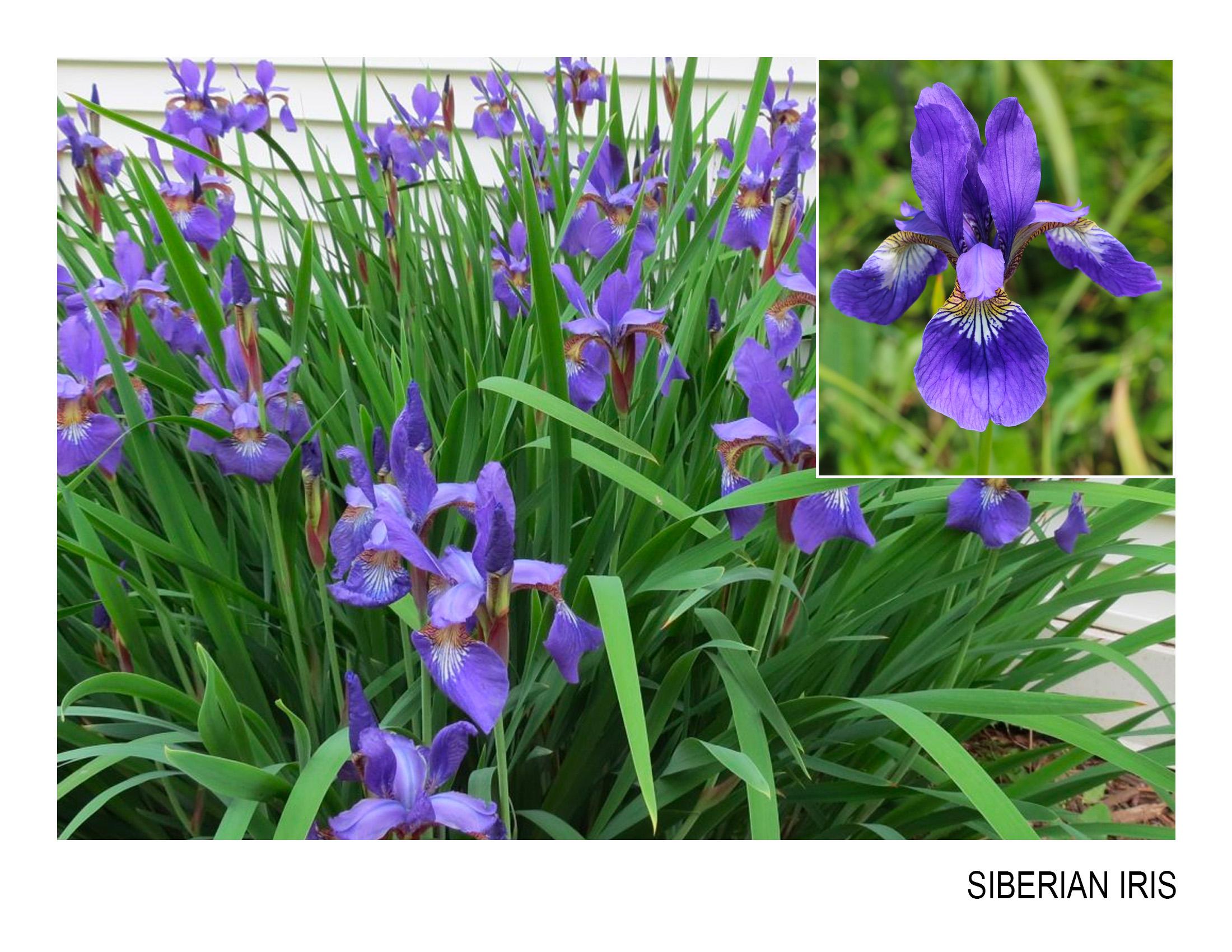 siberian iris.jpg