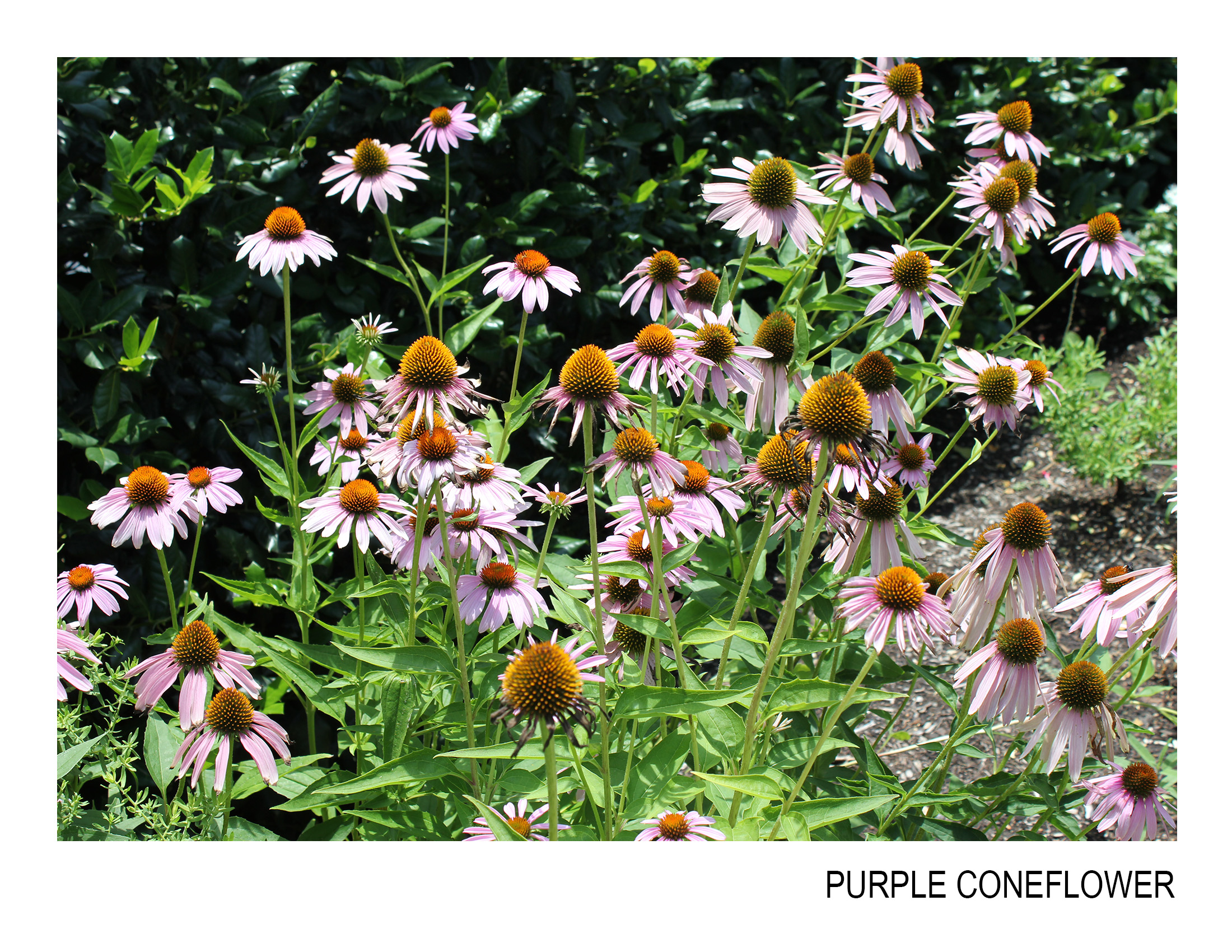 purple coneflower.jpg