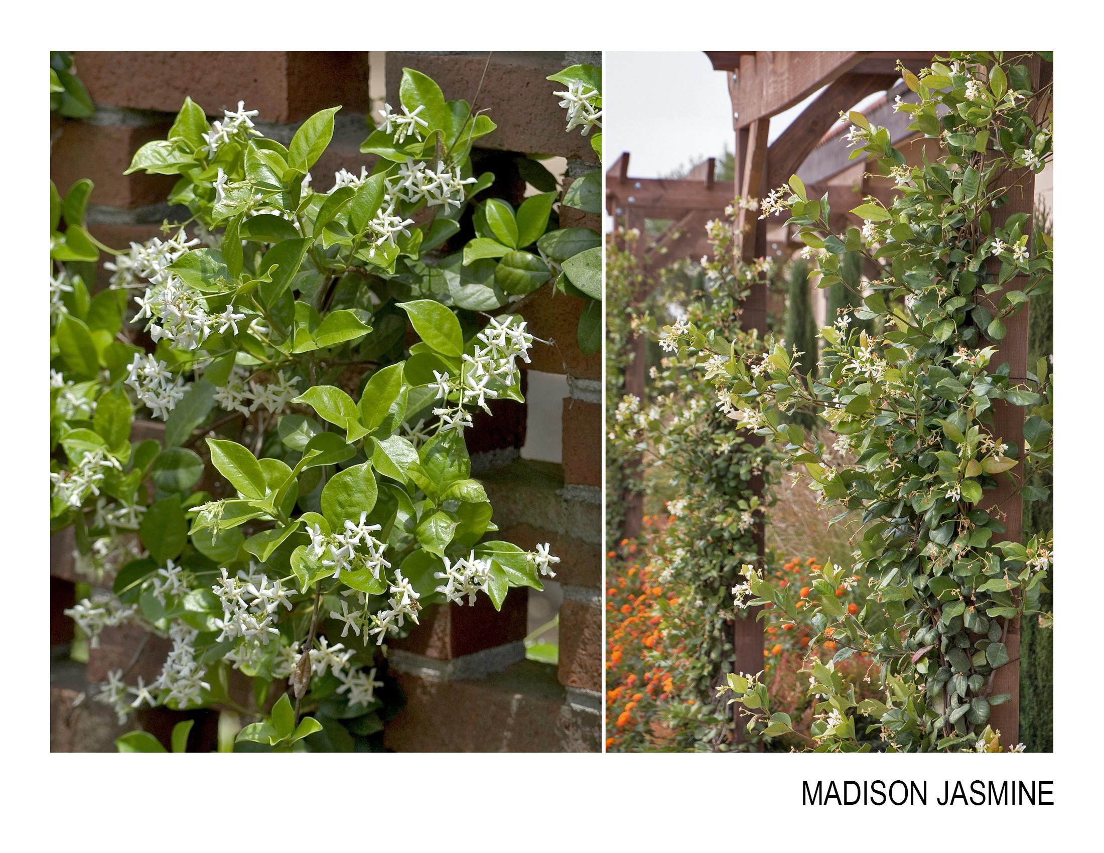 madison jasmine.jpg