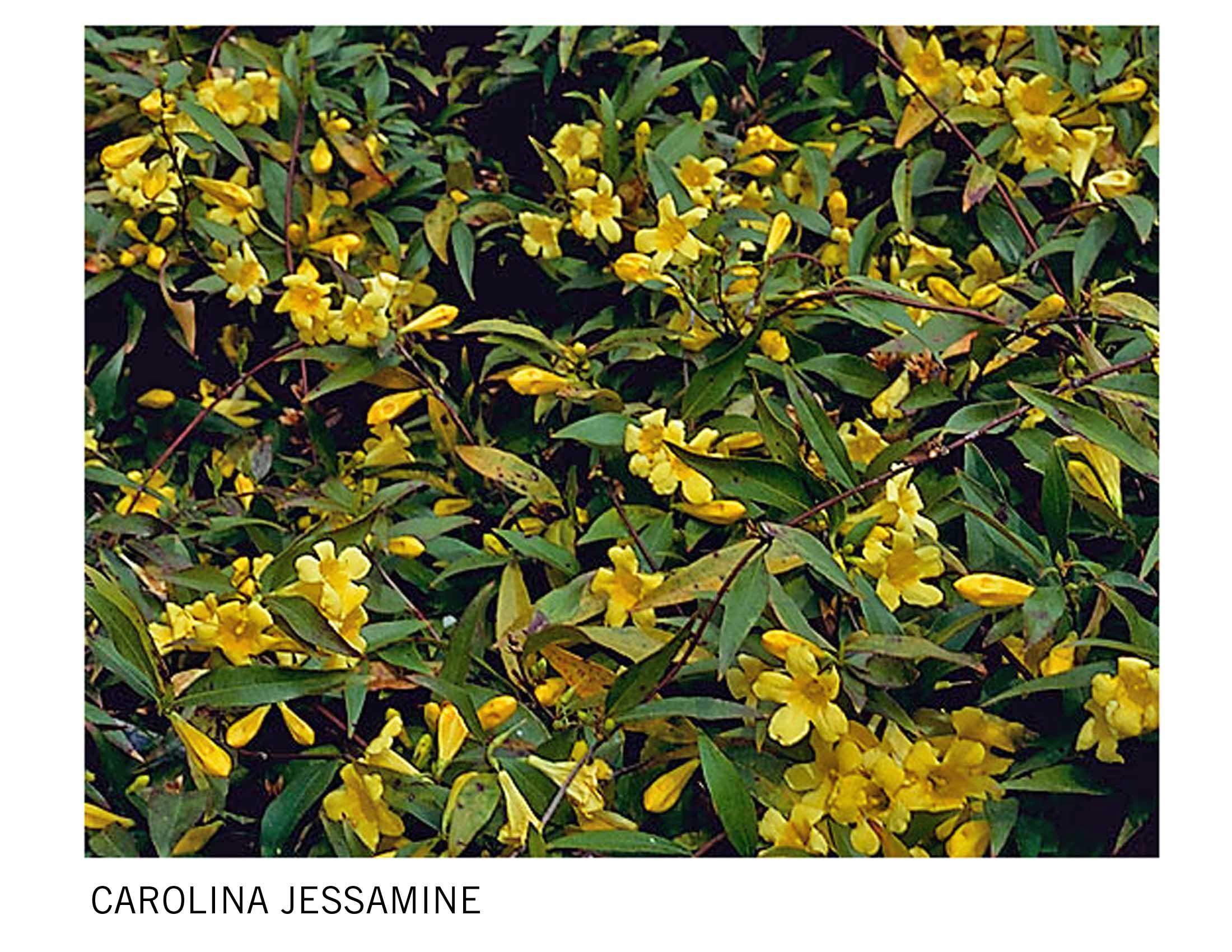 Carolina Jessamine 1.jpg