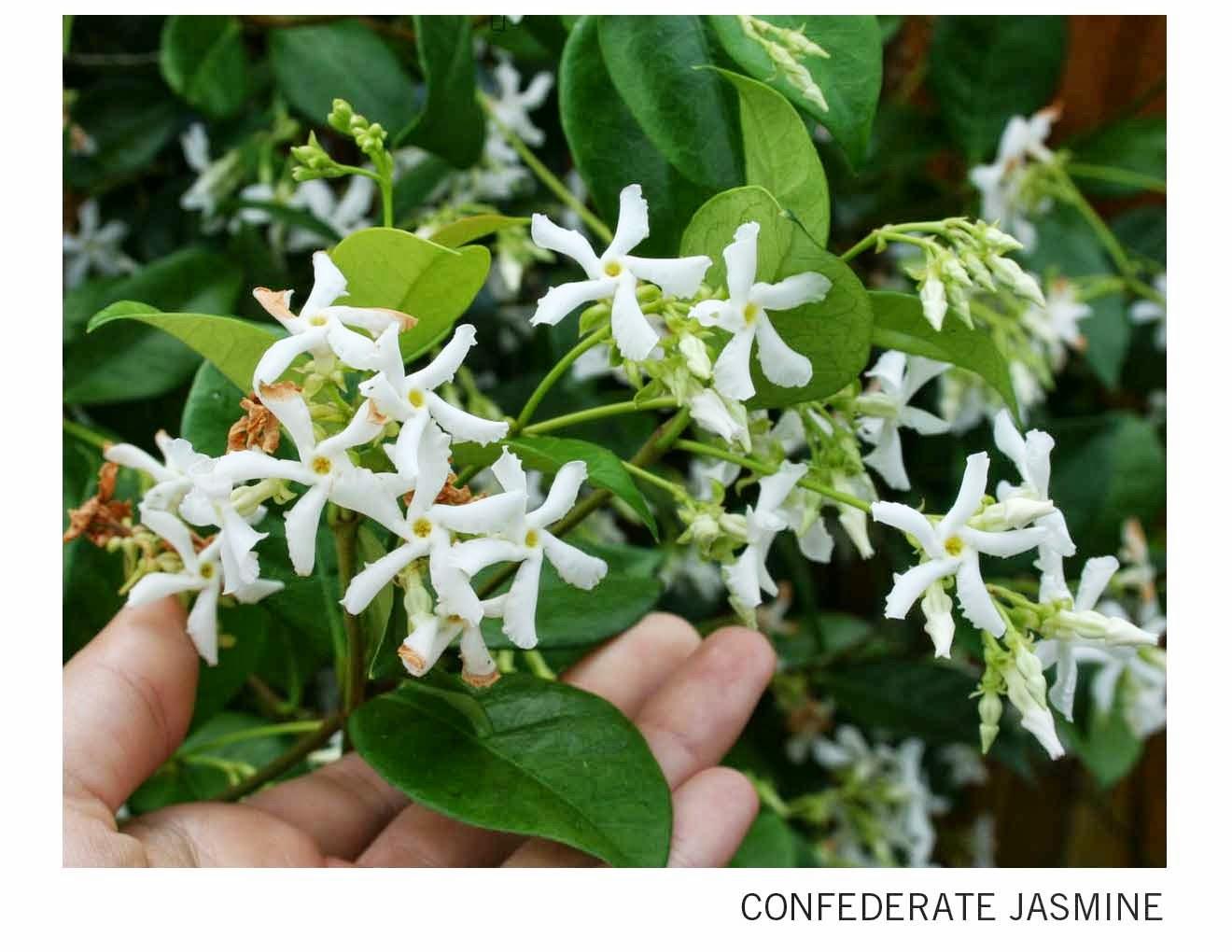 Confederate-Jasmine.jpg