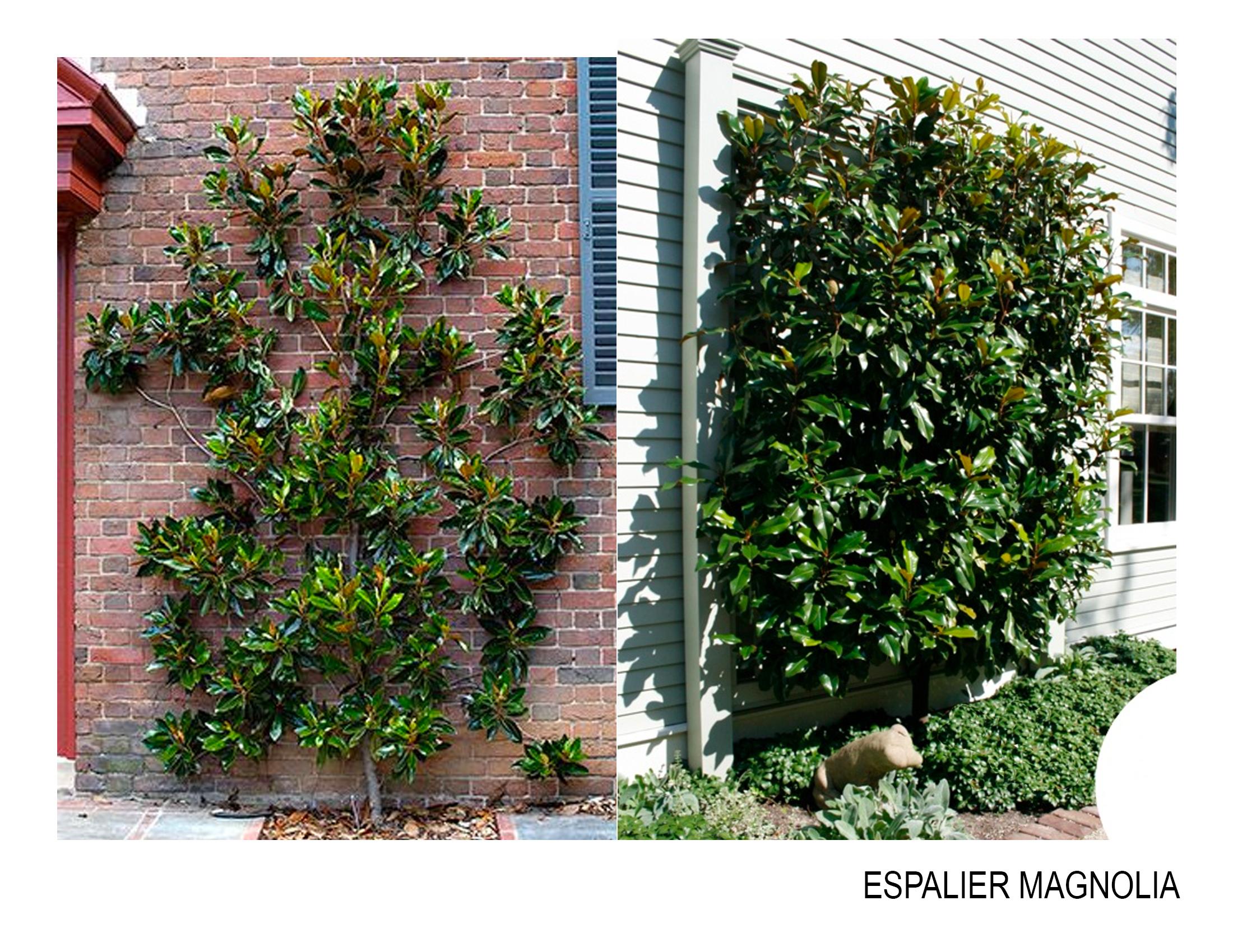 espalier magnolia.jpg