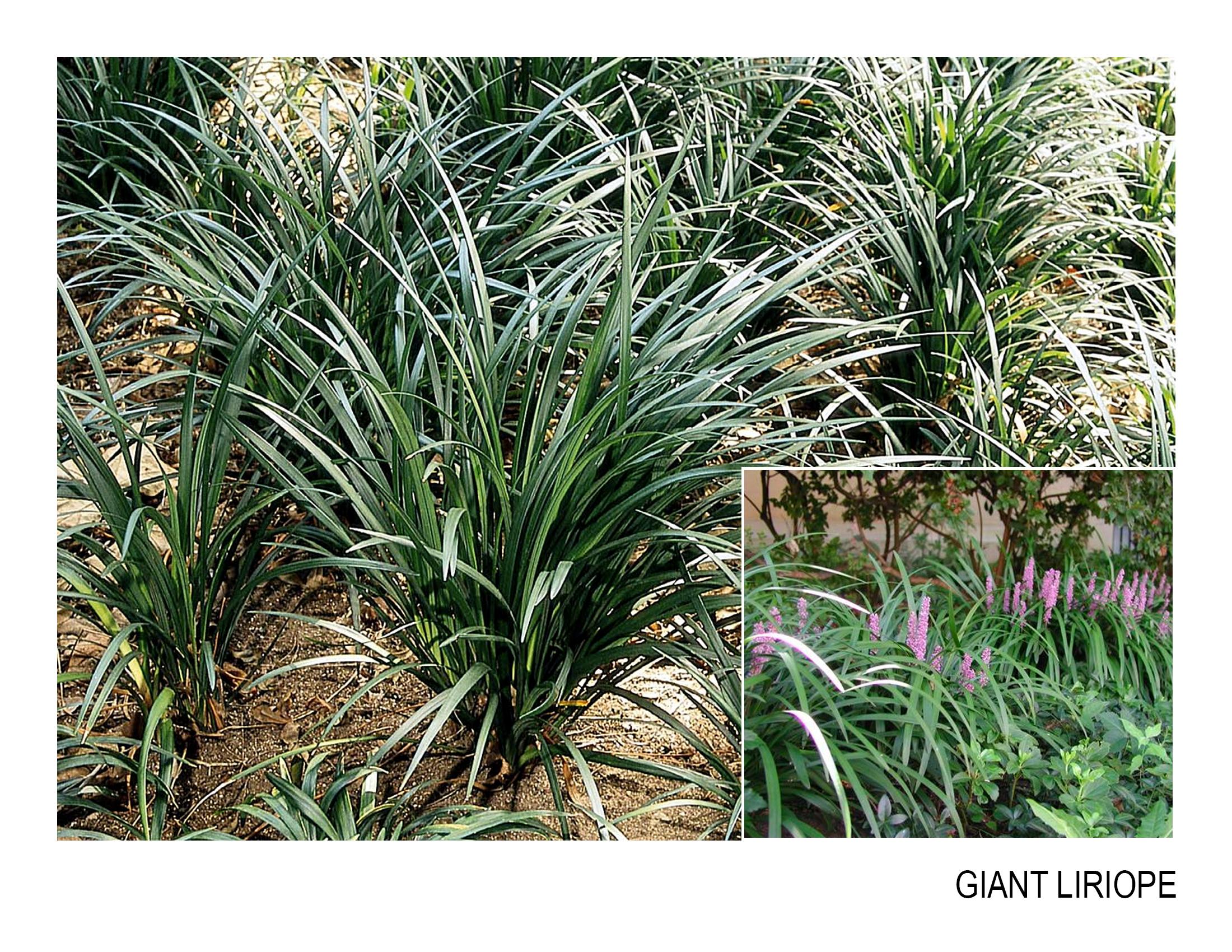 giant liriope.jpg