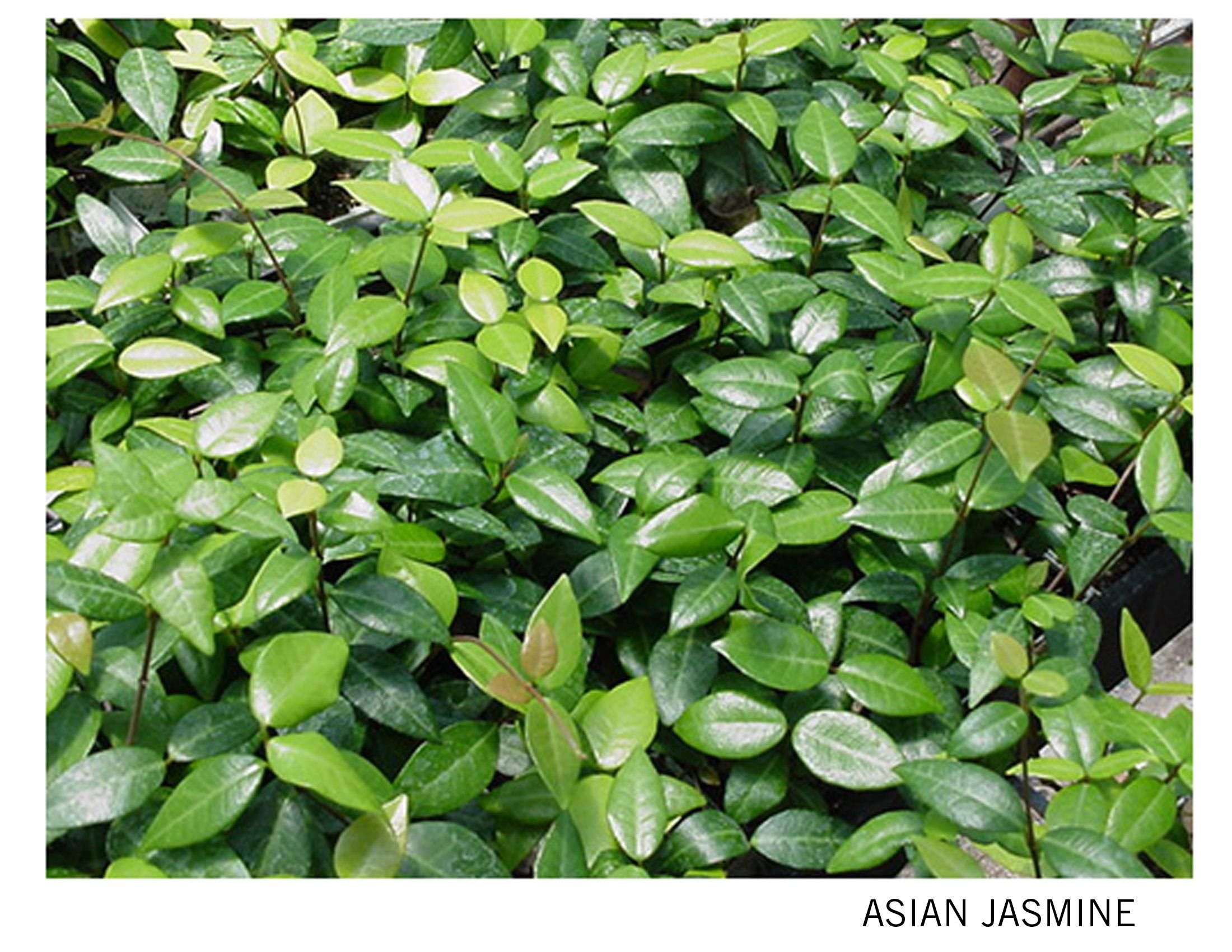 Asian Jasmine.jpg