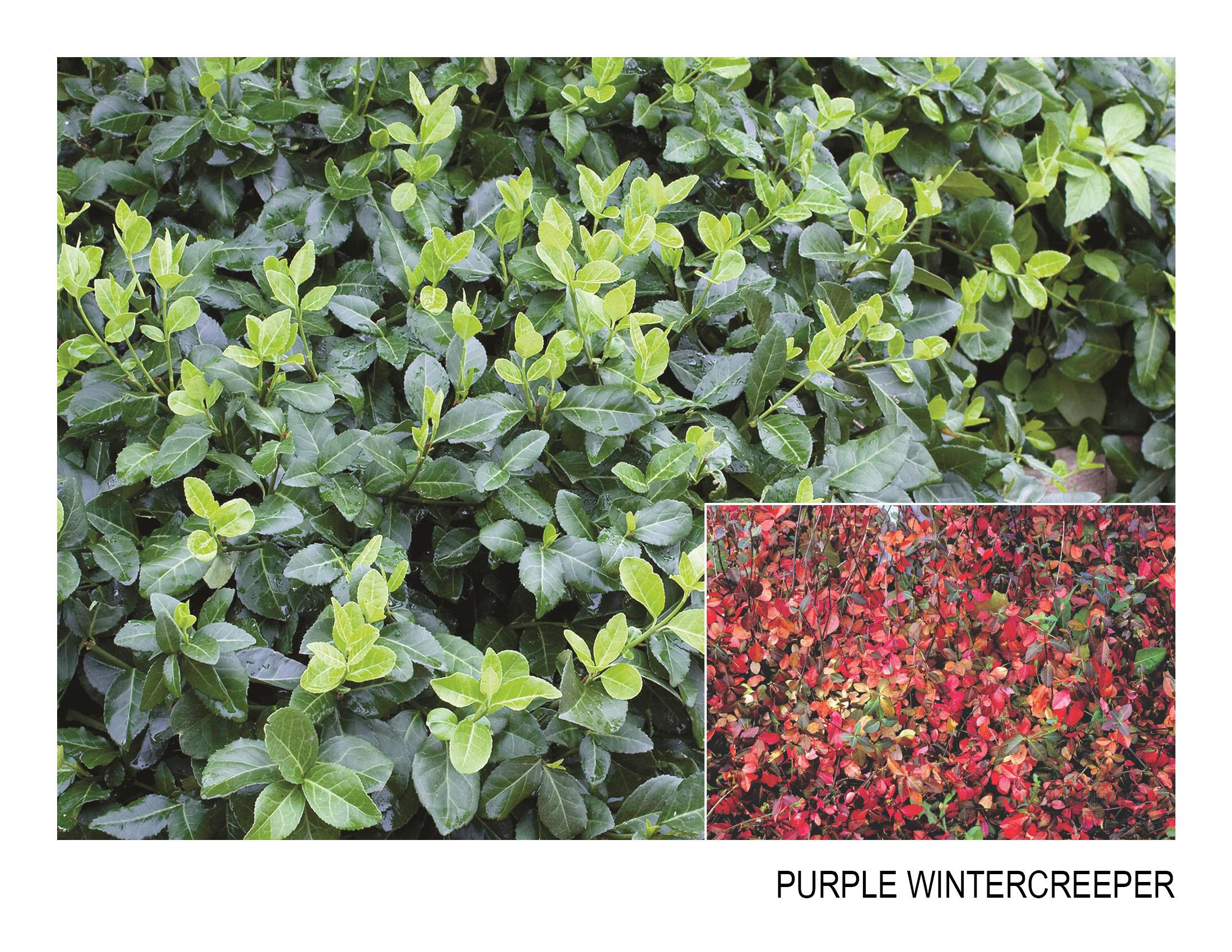 purple wintercreeper.jpg