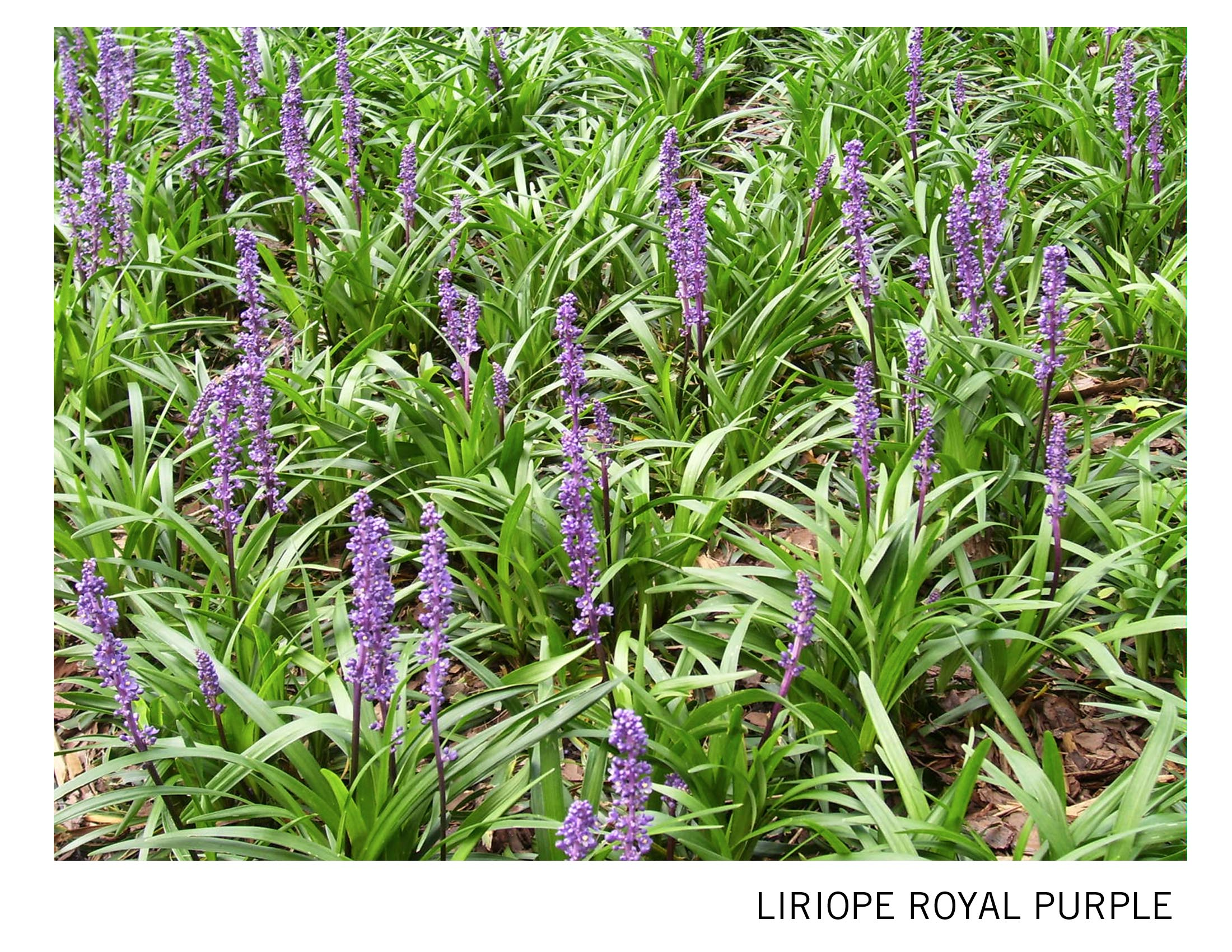 Liriope royal purple.jpg