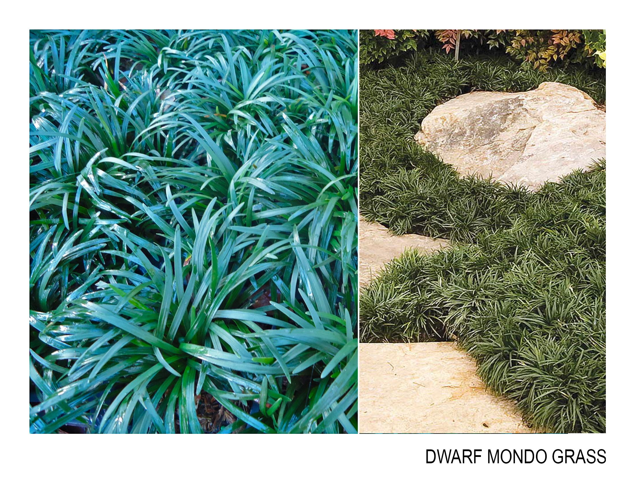 dwarf mondo grass.jpg