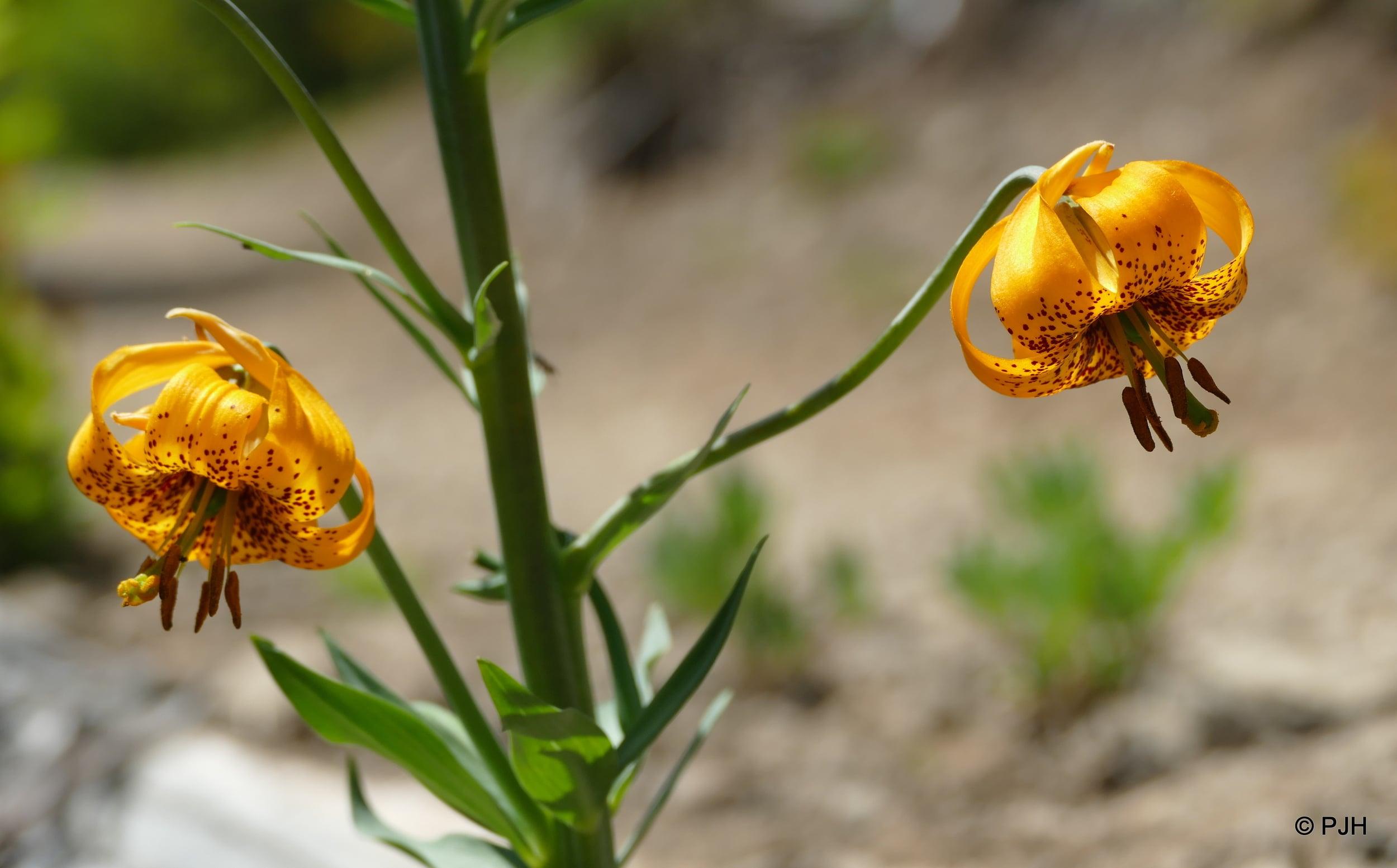 Wild Tiger Lily's - Olympic NP, WA, USA.