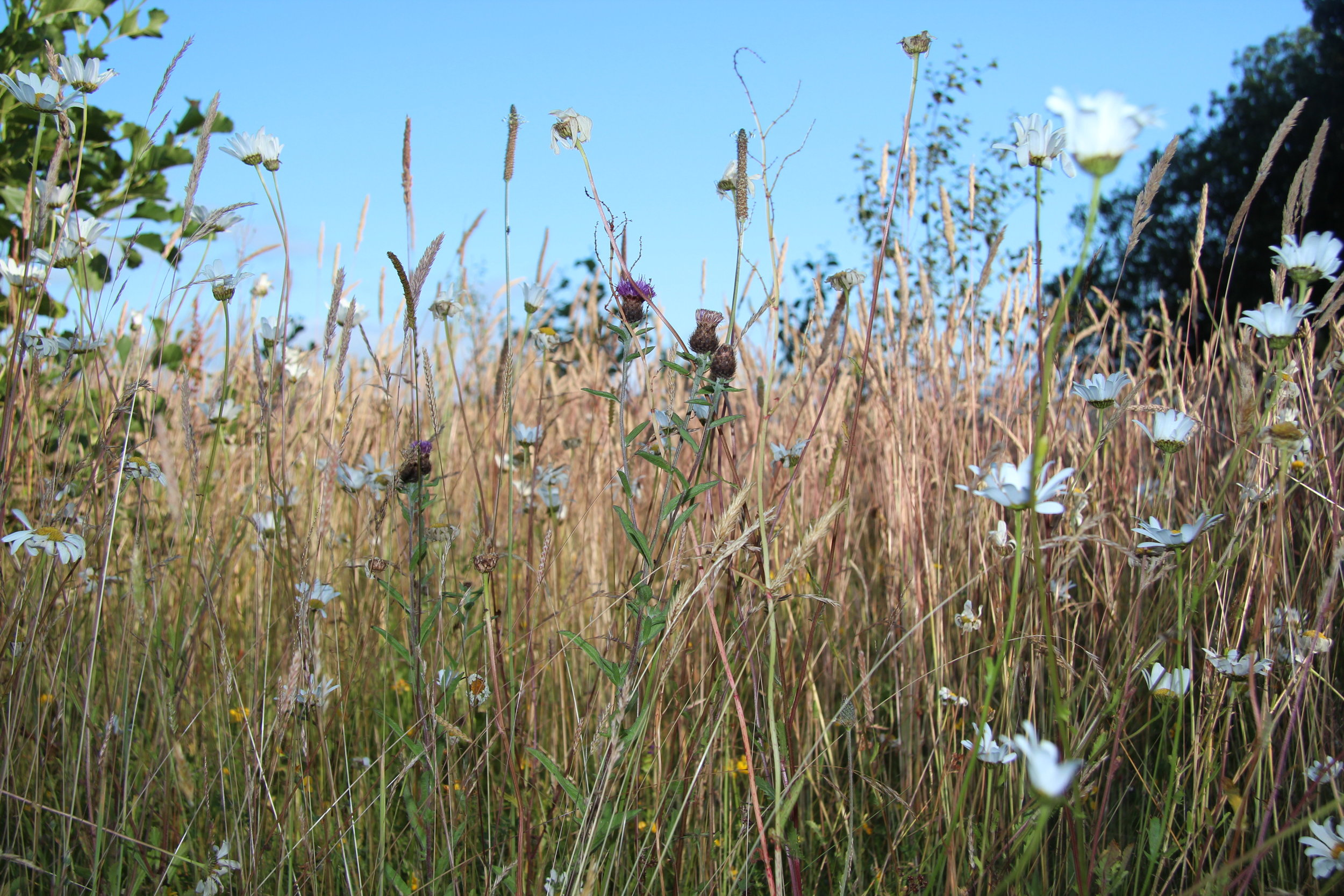 The flourishing meadow of wildflowers at Three Hagges Woodmeadow