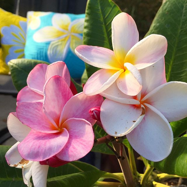 Summer is back ☀️No complaints here 🌺 www.palamaimports.com 🌺##keepblooming #plumerialover #plumeriacushion #cushioncover #hawaiianquilt #puamelia #hawaiilife #aloha #tiki #vintagehawaii