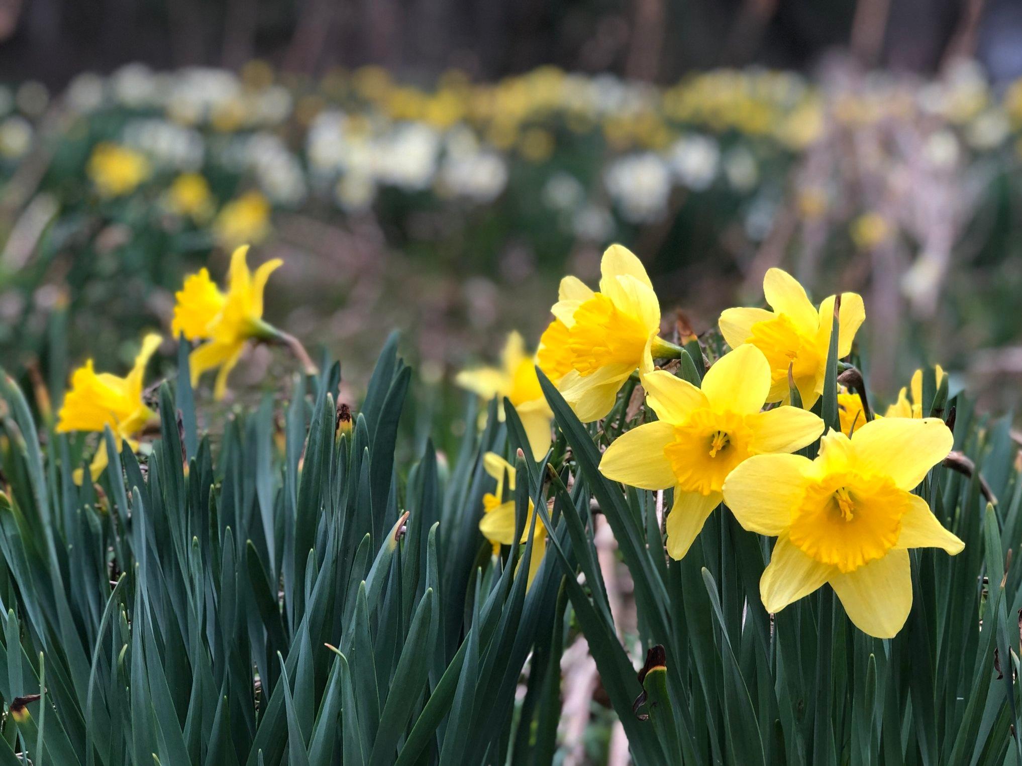 Daffodils at davistudio, April 2019