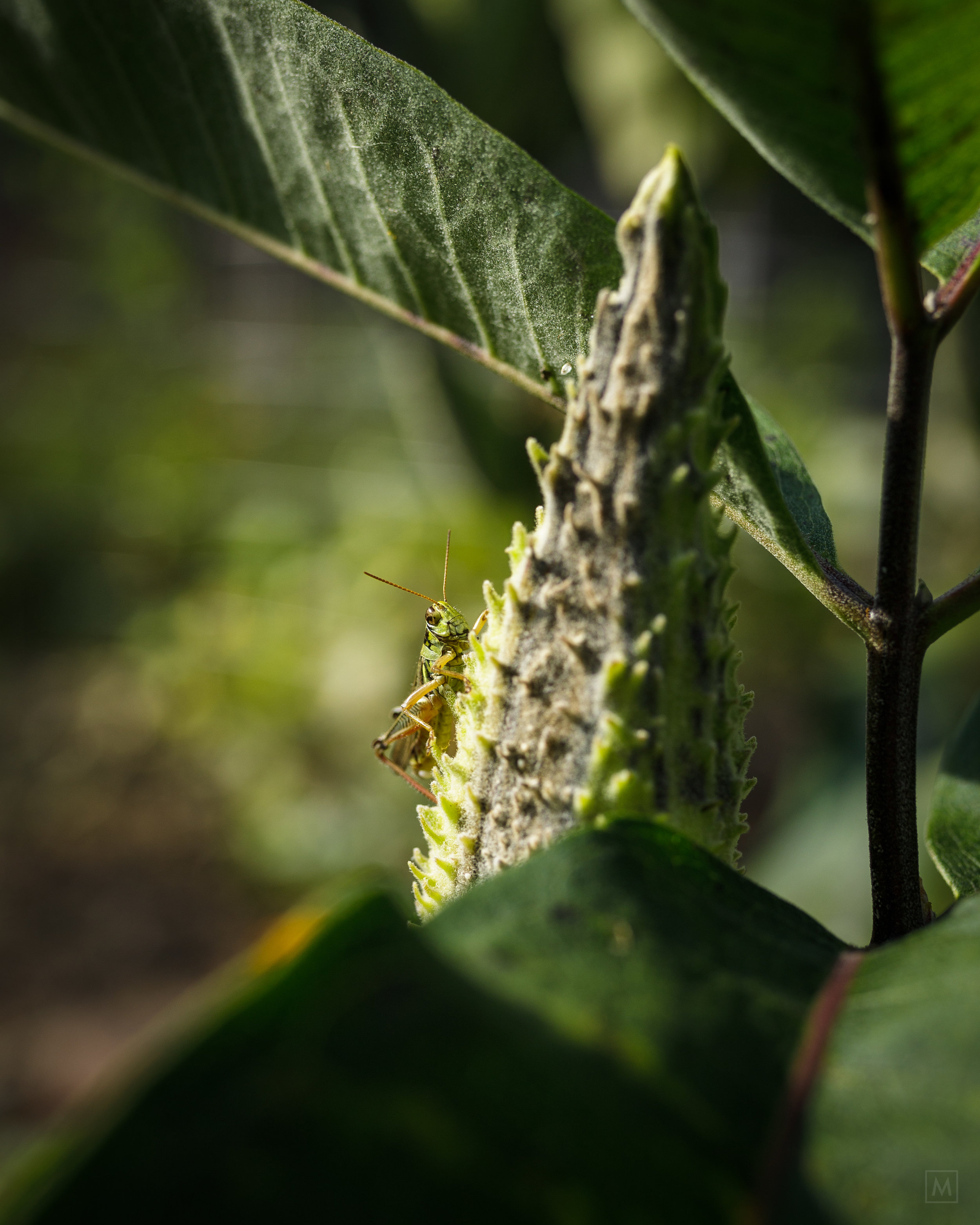 Grasshopper on Milkweed.jpg
