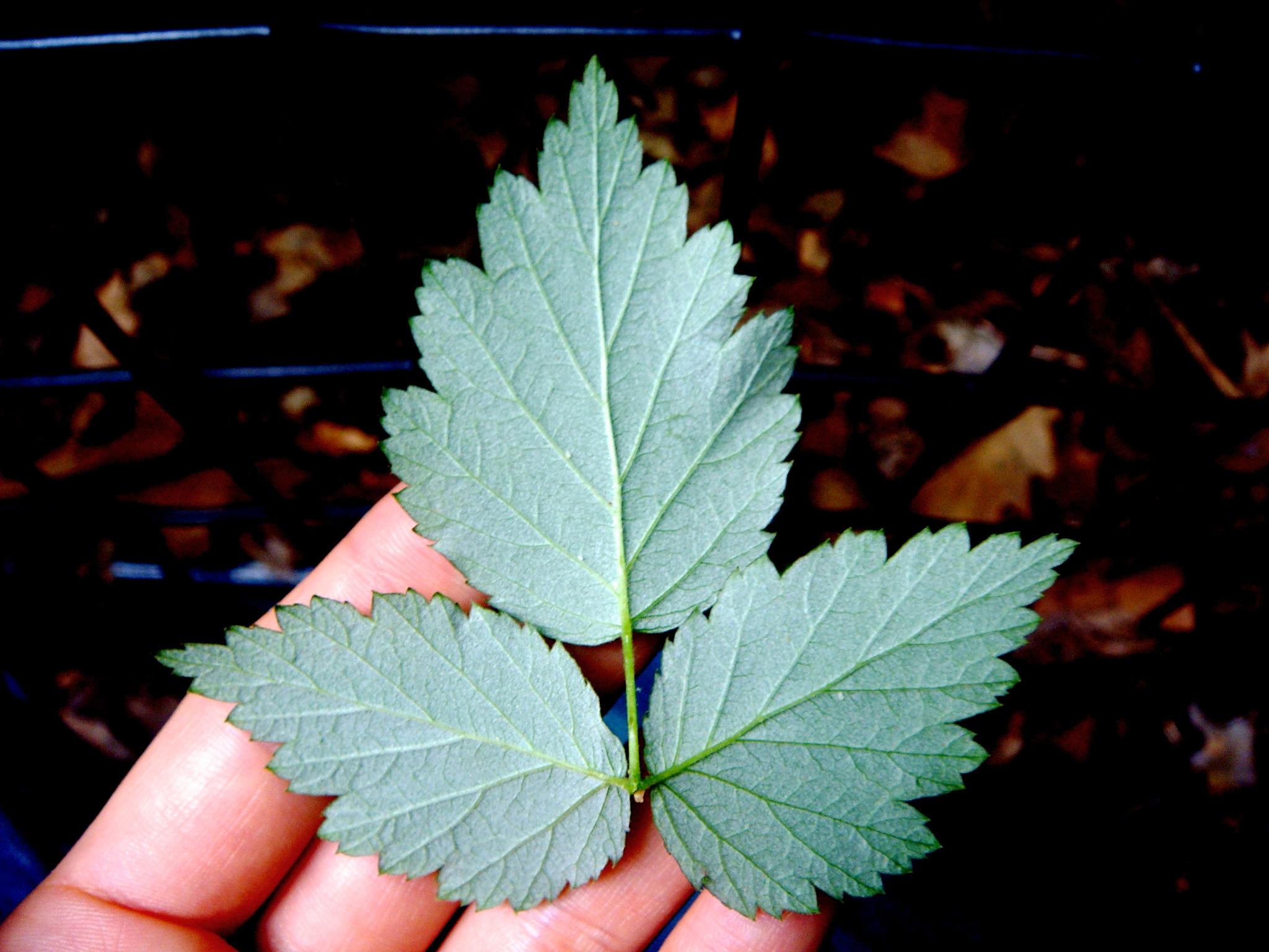 Brooklyn Red Raspberry Leaf, Herbal Ally for Pregnancy & Postpartum.