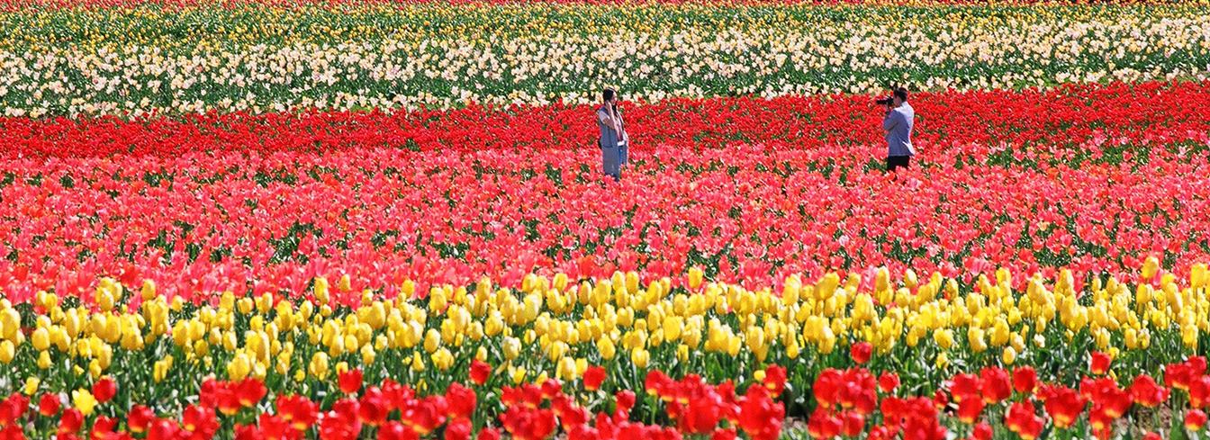 tulips3ab.jpg