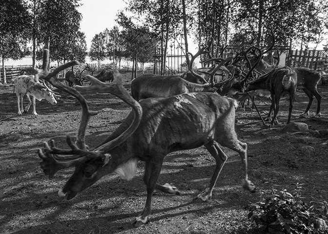 Reindeer, Jukkasjärvi, Sweden