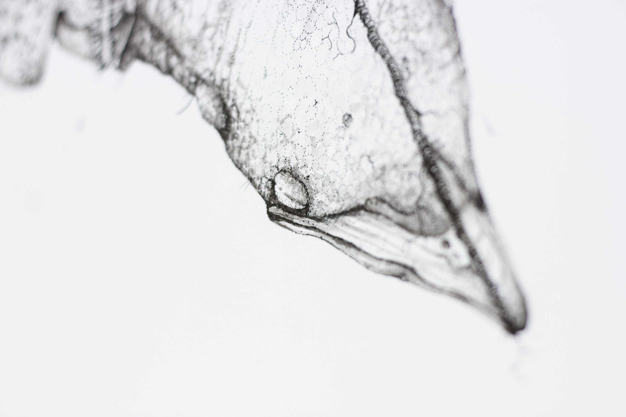 Pica Nuttalli (Detail Shot)