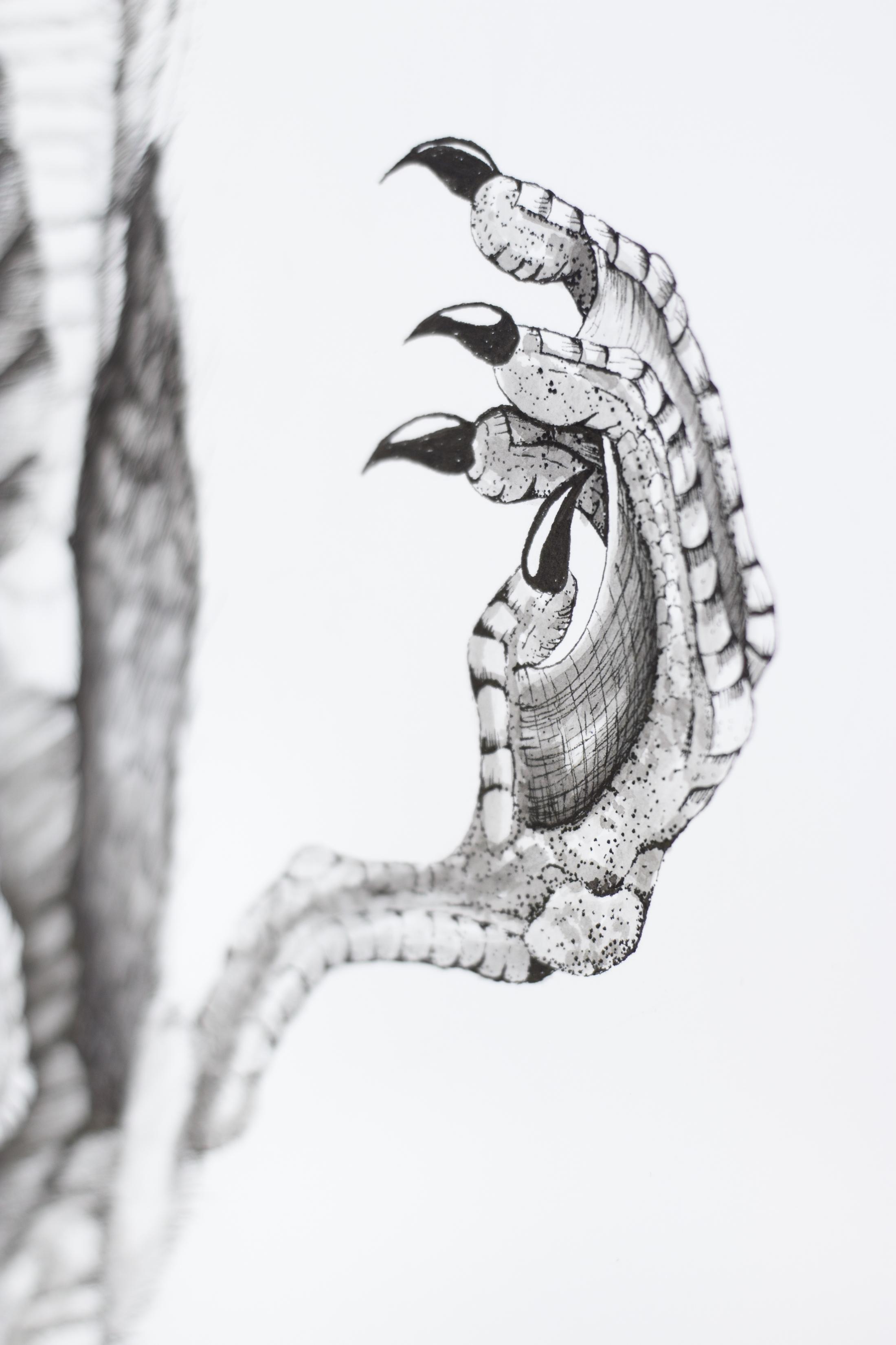 Pelecanus Occidentalis (Detail Shot)