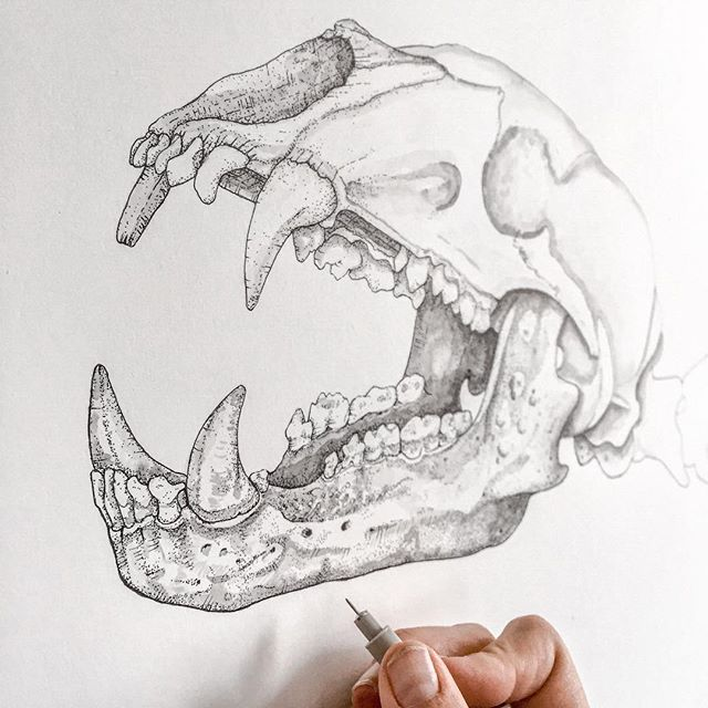 Ursus americanus:  black bear skull 🐻 💀  _____ It's been 4 months of teaching my college students the building blocks of drawing- starting from learning to draw and shade a simple circle, all the way to charting linear perspective of architecture, and now, finally, my students are ready to learn my specialty... Biological illustration and anatomy using pen and ink! _ This last month of teaching is magic. All the lessons from the semester click into motion and I get to witness my students flow with confidence in their new skill-sets!