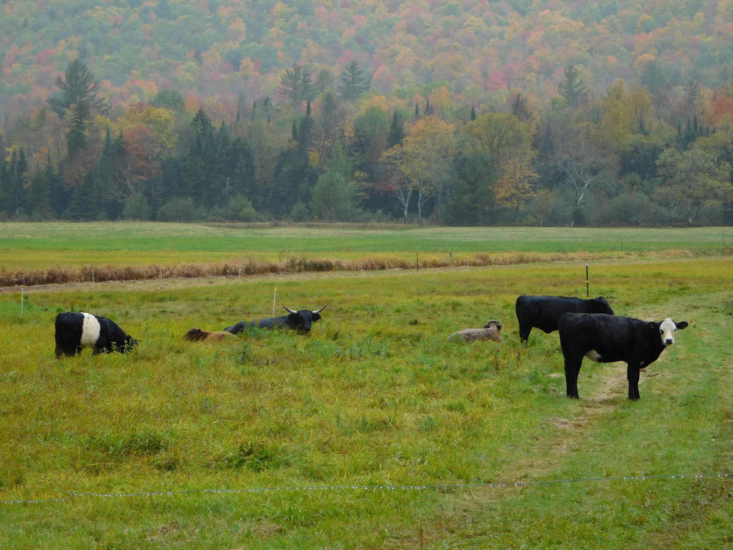 Cows in New Hampshire.JPG