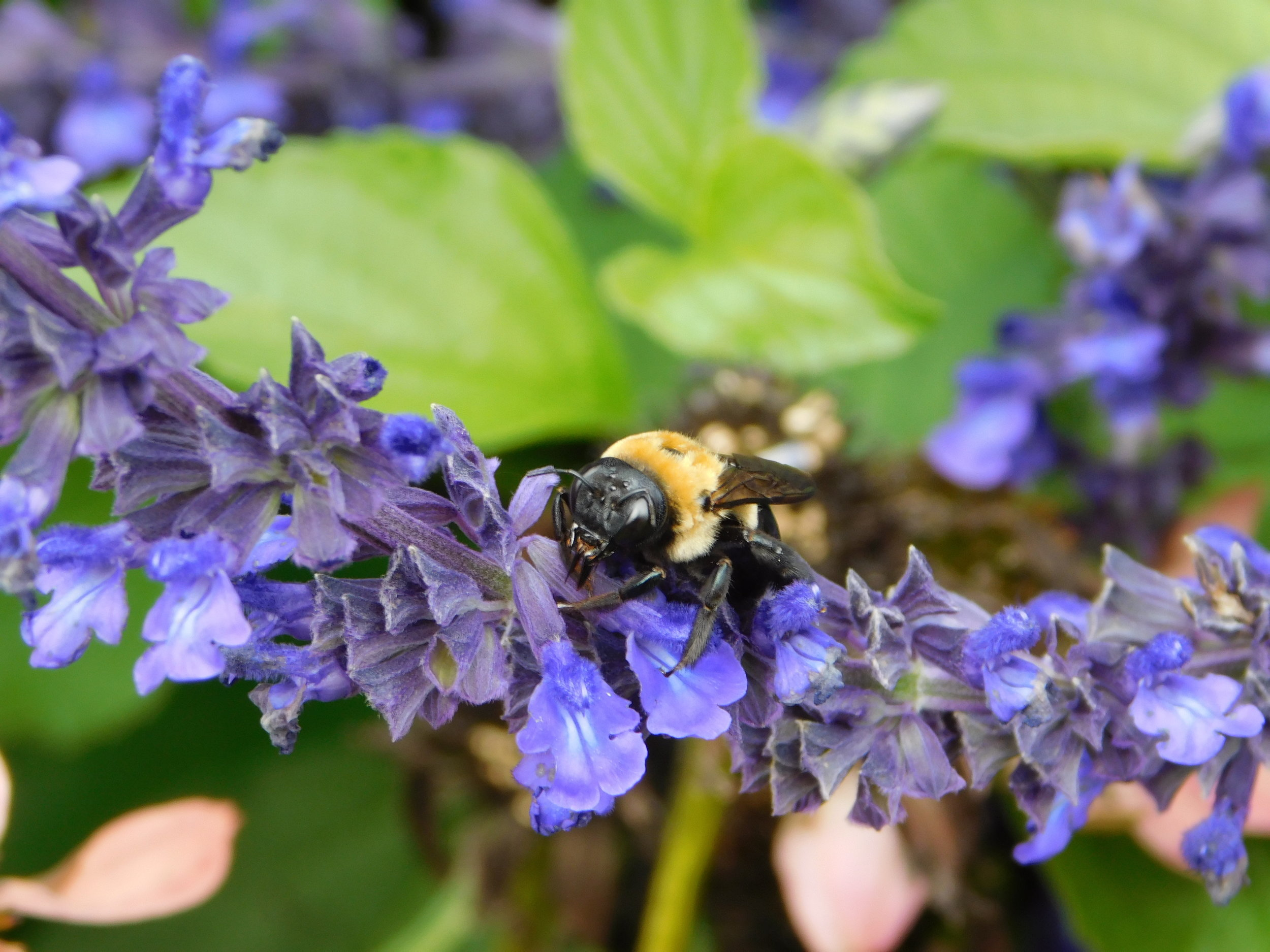 Bee on Purple Flowers, Portsmouth, New Hampshire.JPG