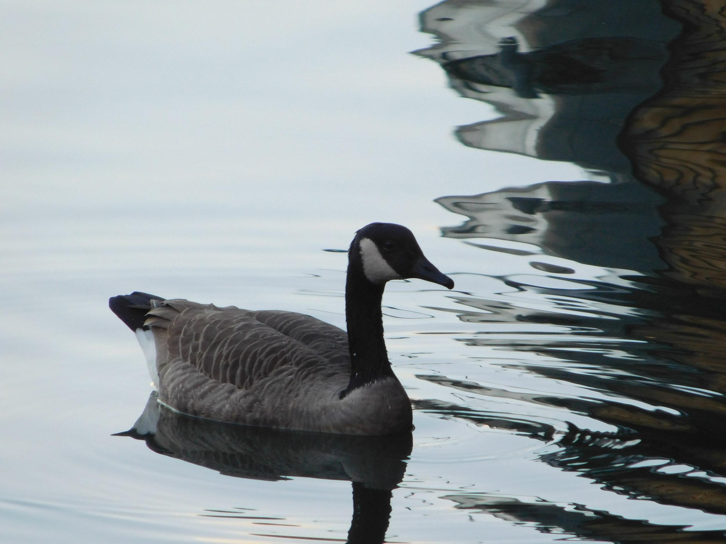 Goose in Boston, Massachusetts.JPG