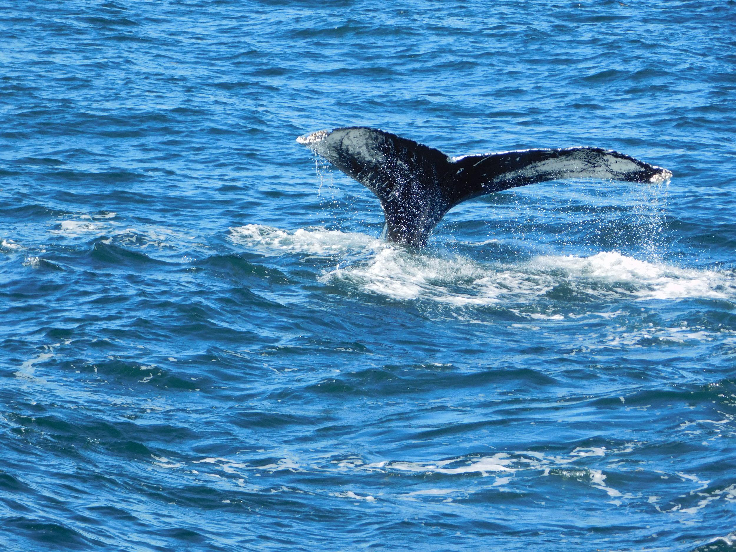 Humpback Whale, Boston, Massachusetts.JPG