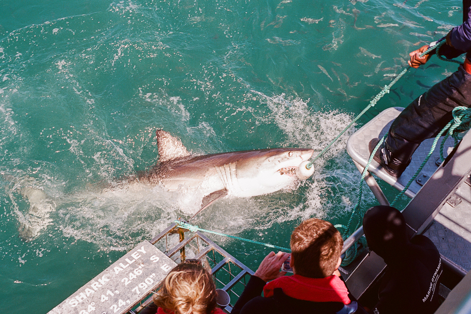 Our expert chummer got his ball of fish-heads stuck inside a Great White Shark.