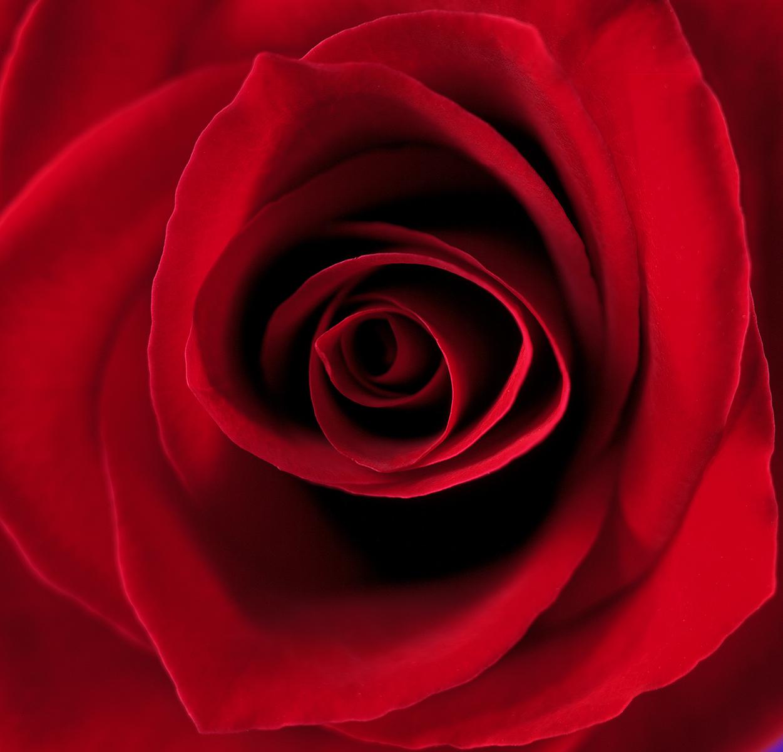 rose sharp.jpg