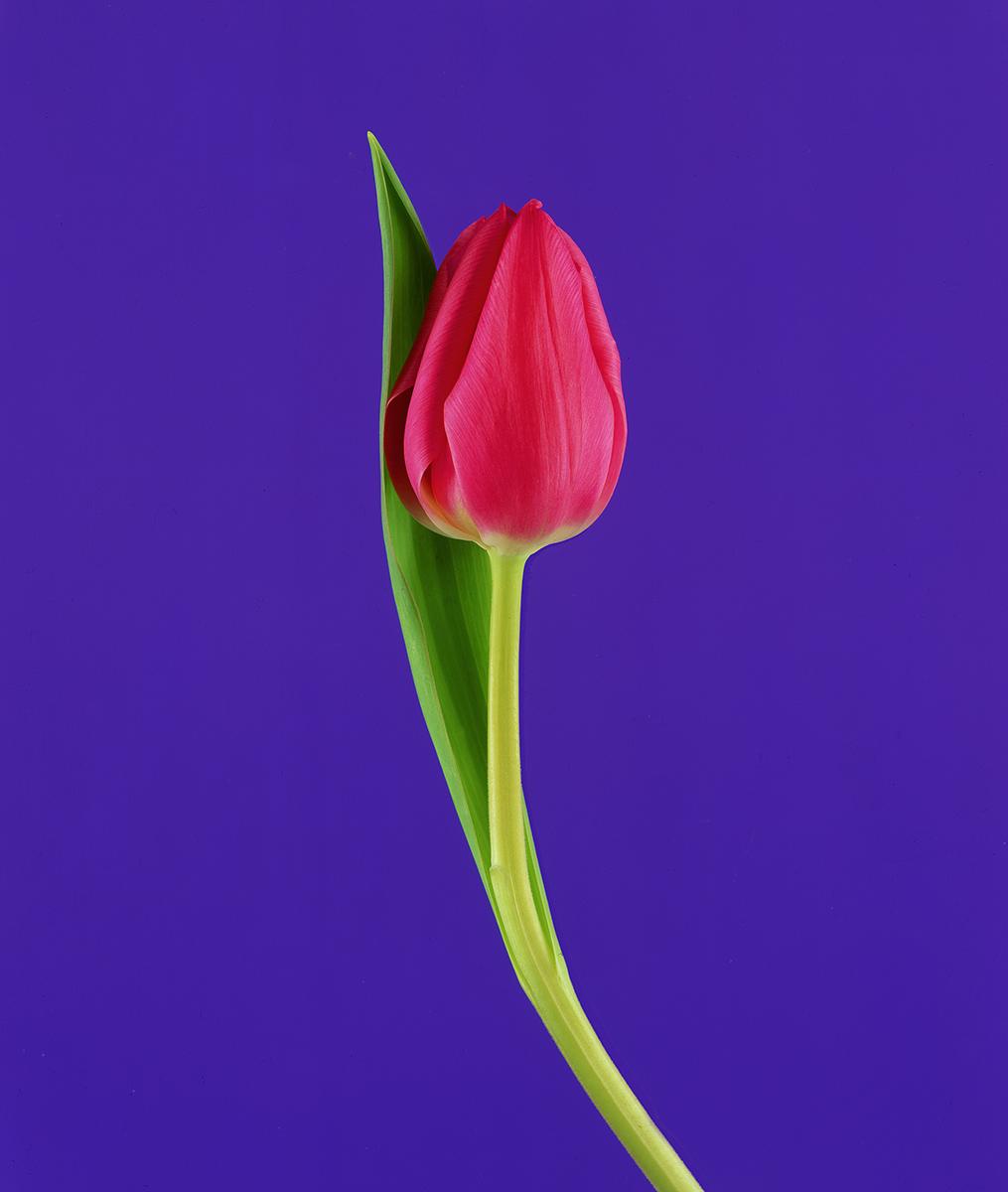 tulip sharp .jpg