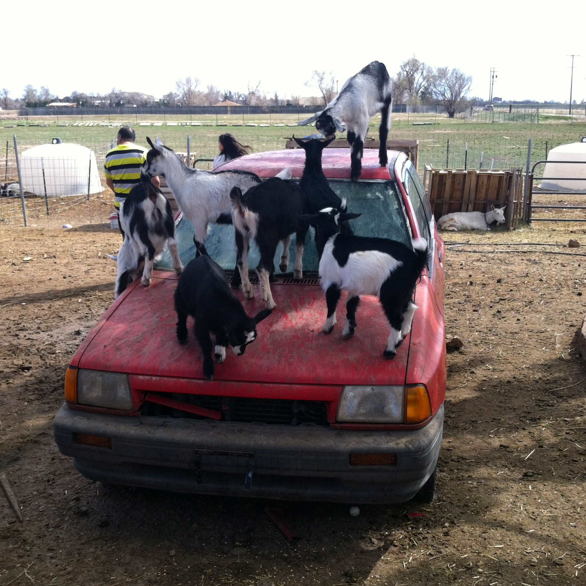 they even get to use this old car as their own personal jungle gym.