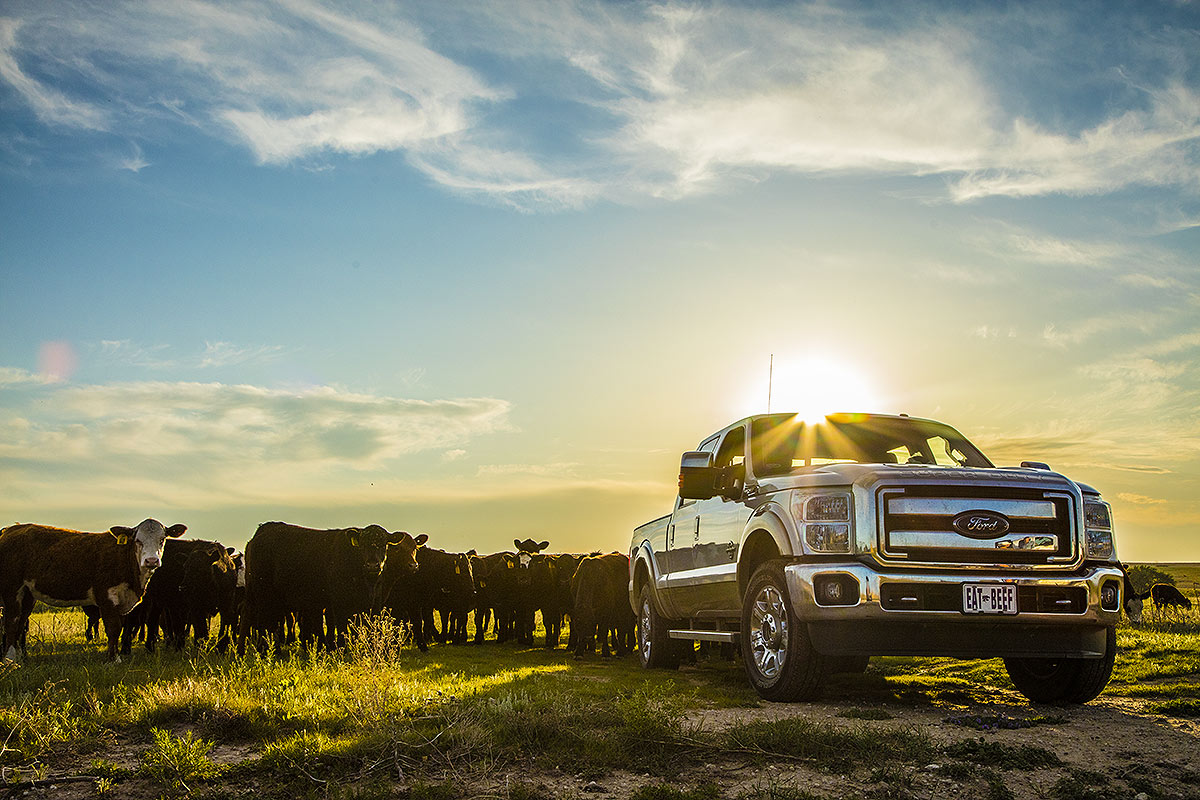 Farming photograph of a Ford truck being used to move cattle.
