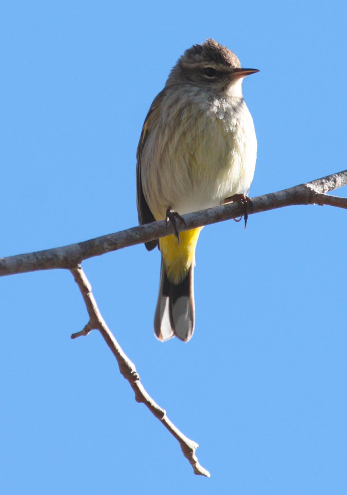 Palm Warbler - 028/365