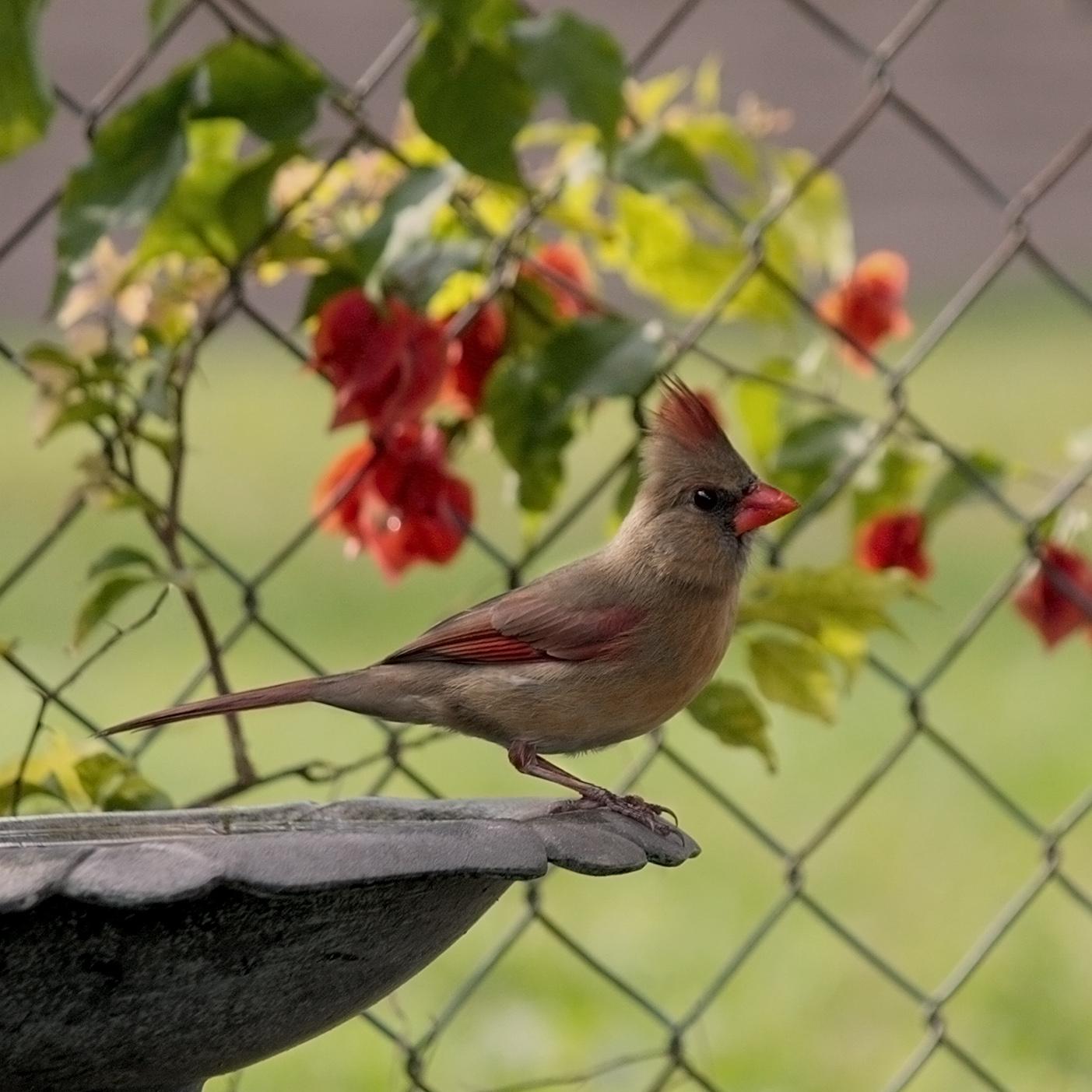 Female cardinal perched on the birdbath in my side yard