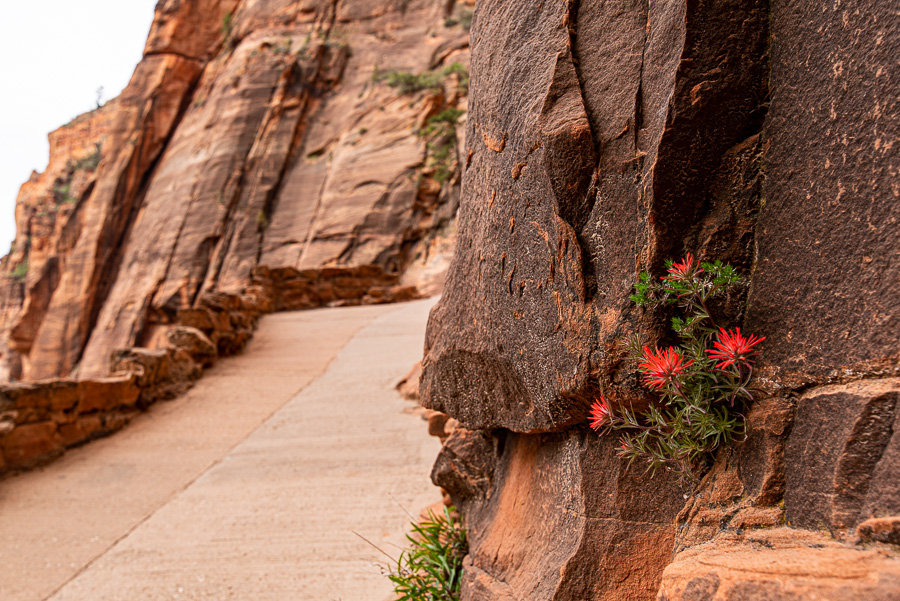 From Zion National Park, taken with Tamron; the image was taken from a little less than a foot away which was as close as I could get. You can actually see that the flower isn't the focus point but the rock directly behind it. The photo would have come out better if I could have gotten closer to the flower but that is a limitation of both lenses.