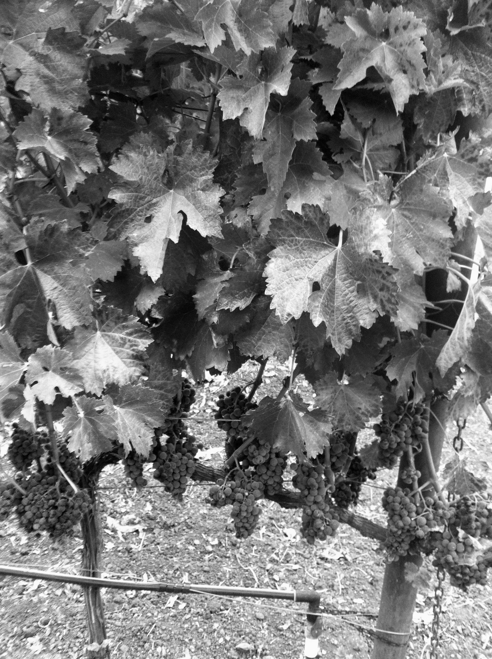 ironside_grapes.jpg