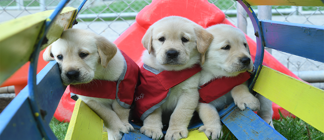Source:https://blindfoundation.org.nz/guide-dogs/red-puppy-sponsorship/ (also I am dying of cuteness a little bit).