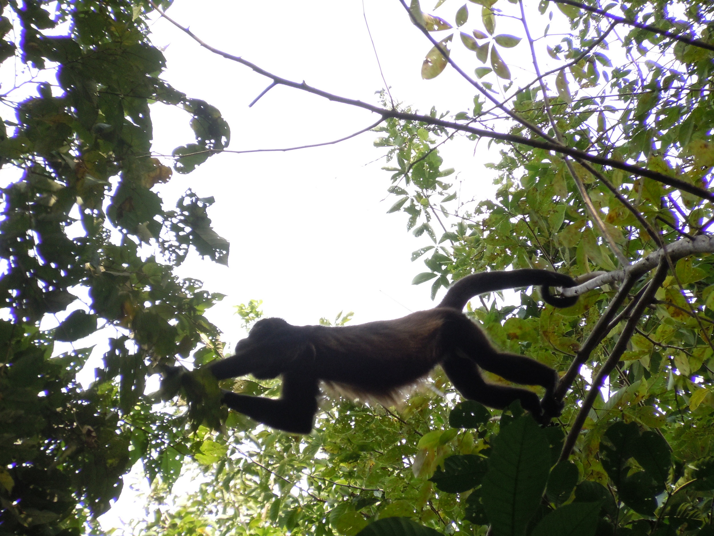 One of the many howler monkeys that hang around.